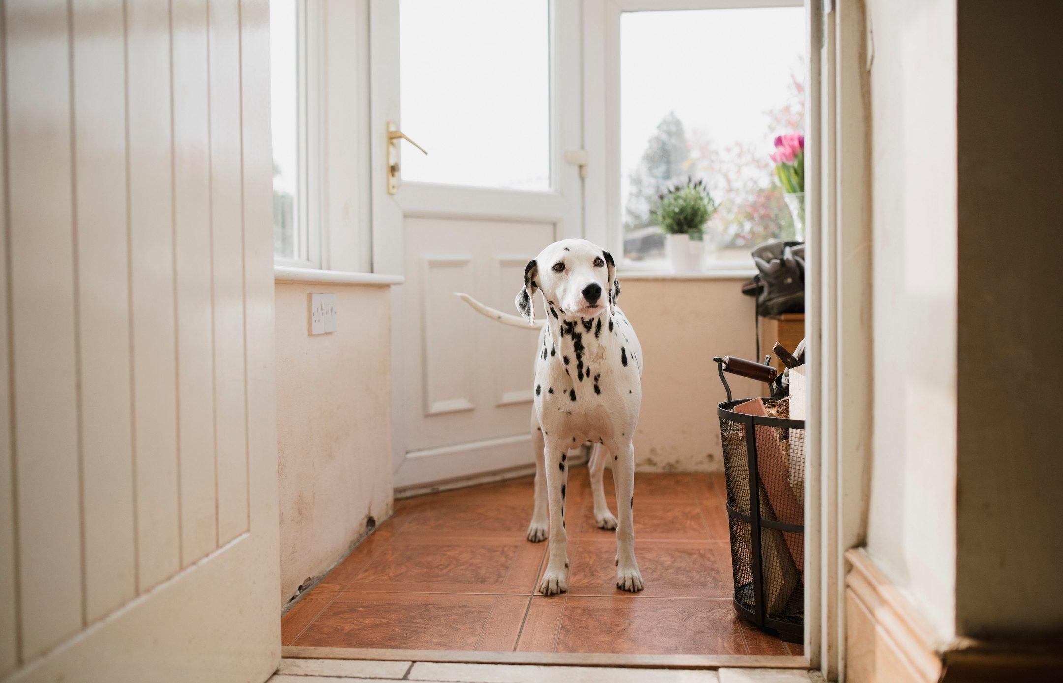 Dalmatian In The Porch