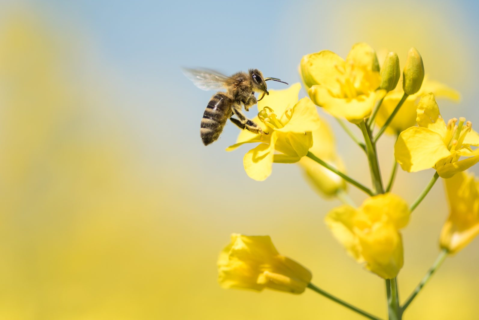 honeybee collects honey - rape blossom in spring