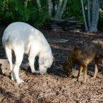 Is Mulch Safe for Dogs to Eat?