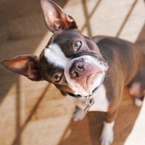 Boston Terrier dog with head cocked