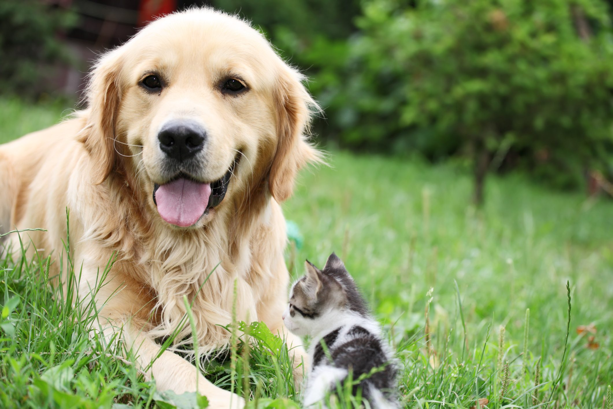 Golden retriever and a small kitten outdoor.