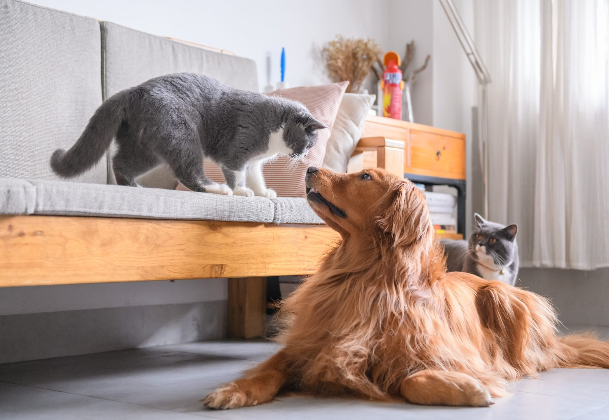 Cat Breeds That Get Along With Dogs Reader S Digest