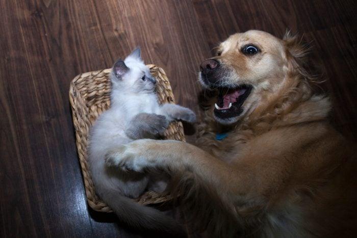 3 leg Golden Retriever with her little friendly ragdoll cat
