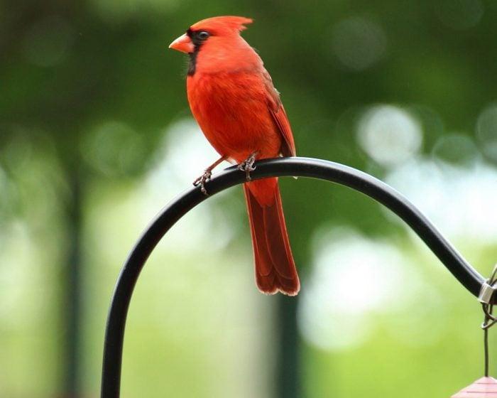 cardinal perched outside Joe Hall's window at the nursing home in Elizabethtown, Kentucky