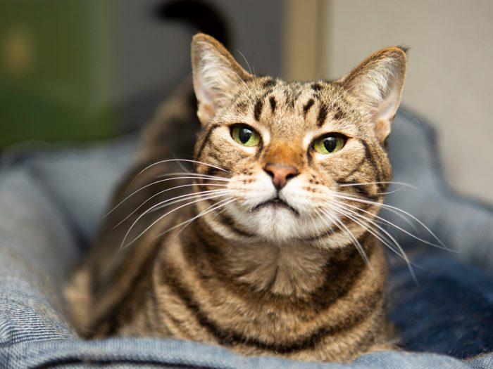 pookie cat