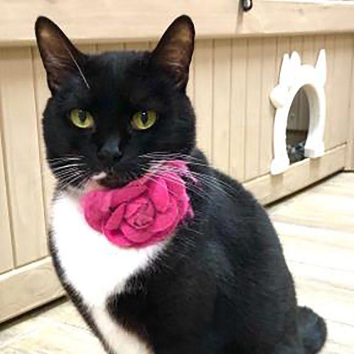 SPCA Florida sammy cat adopt