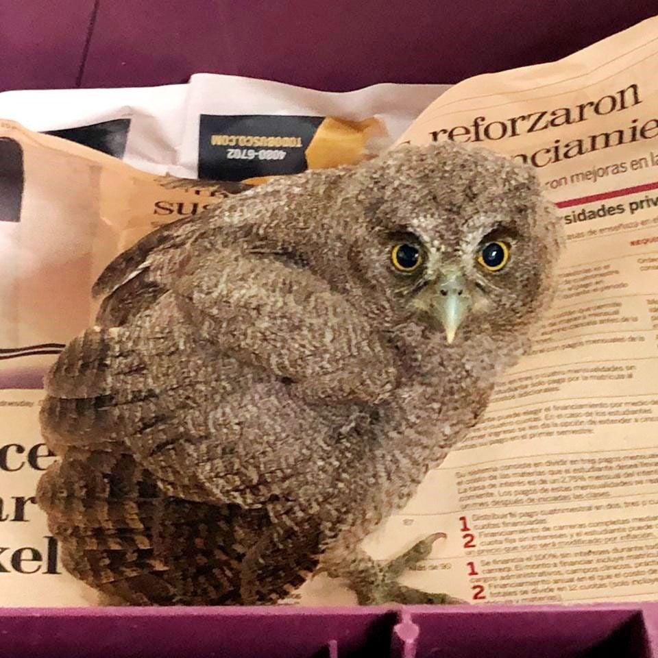 baby screech owl