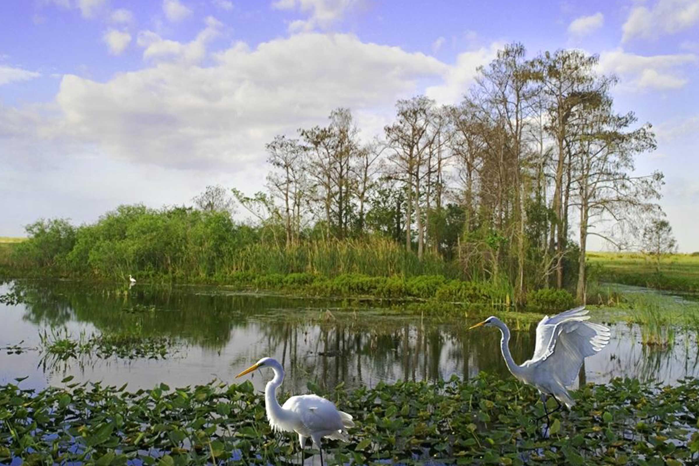 Cranes in swamp