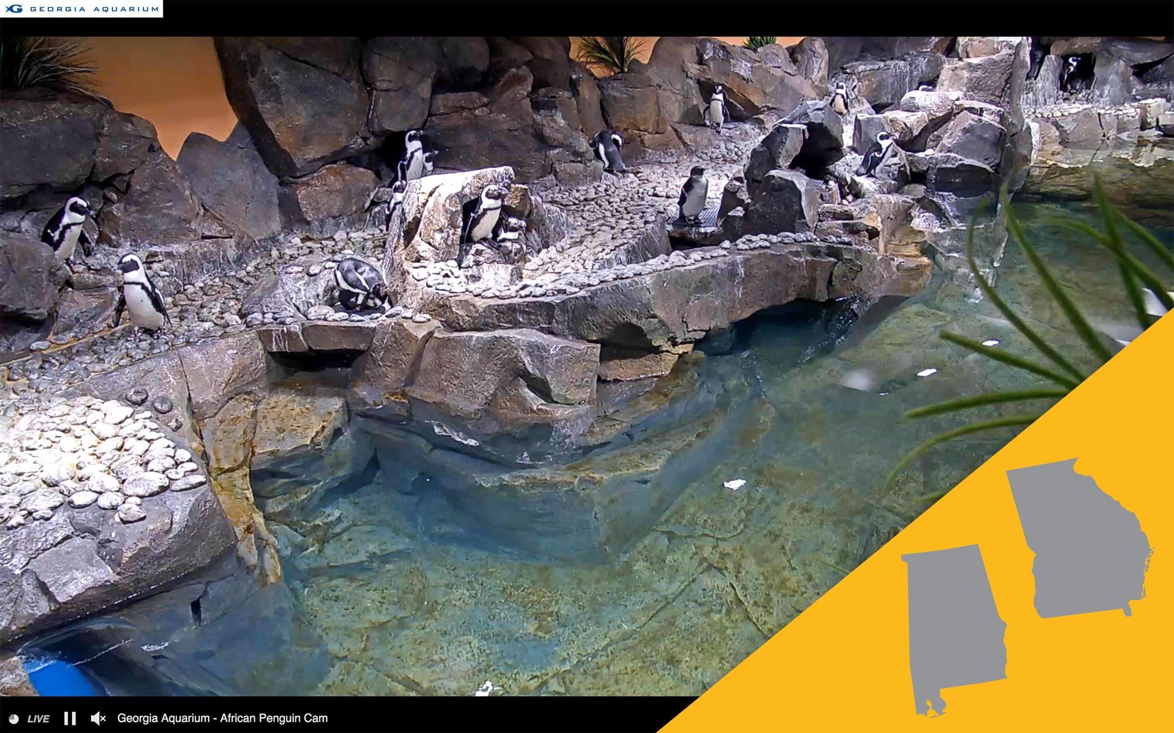 georgia aquarium virtual tour; penguins webcam