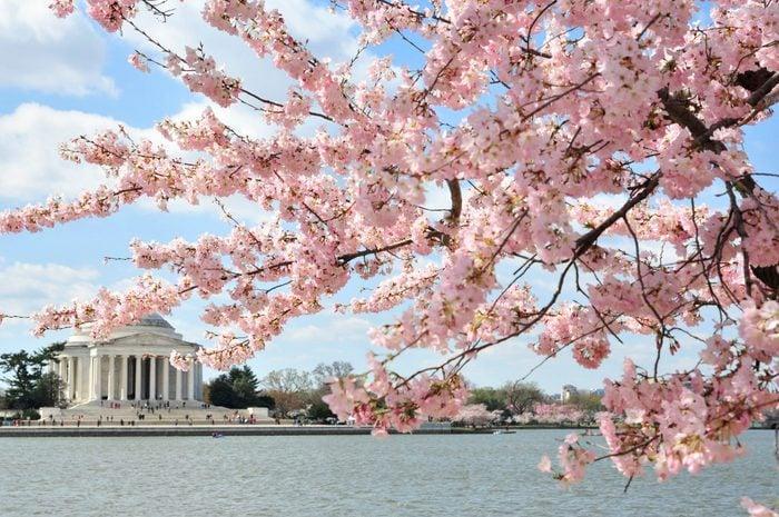 DC Cherry Blossoms