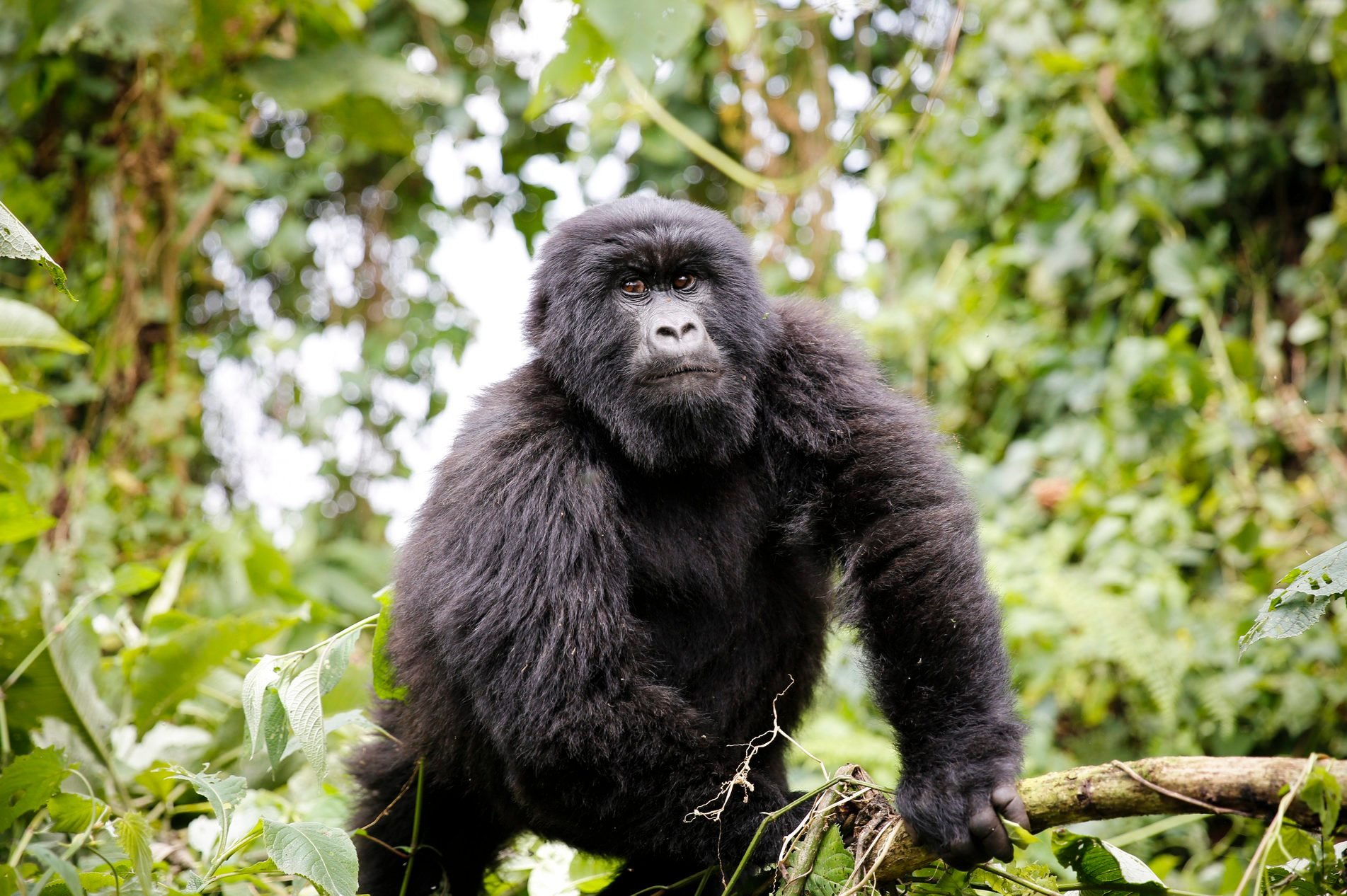 Africa, Democratic Republic of Congo, Mountain gorilla in jungle