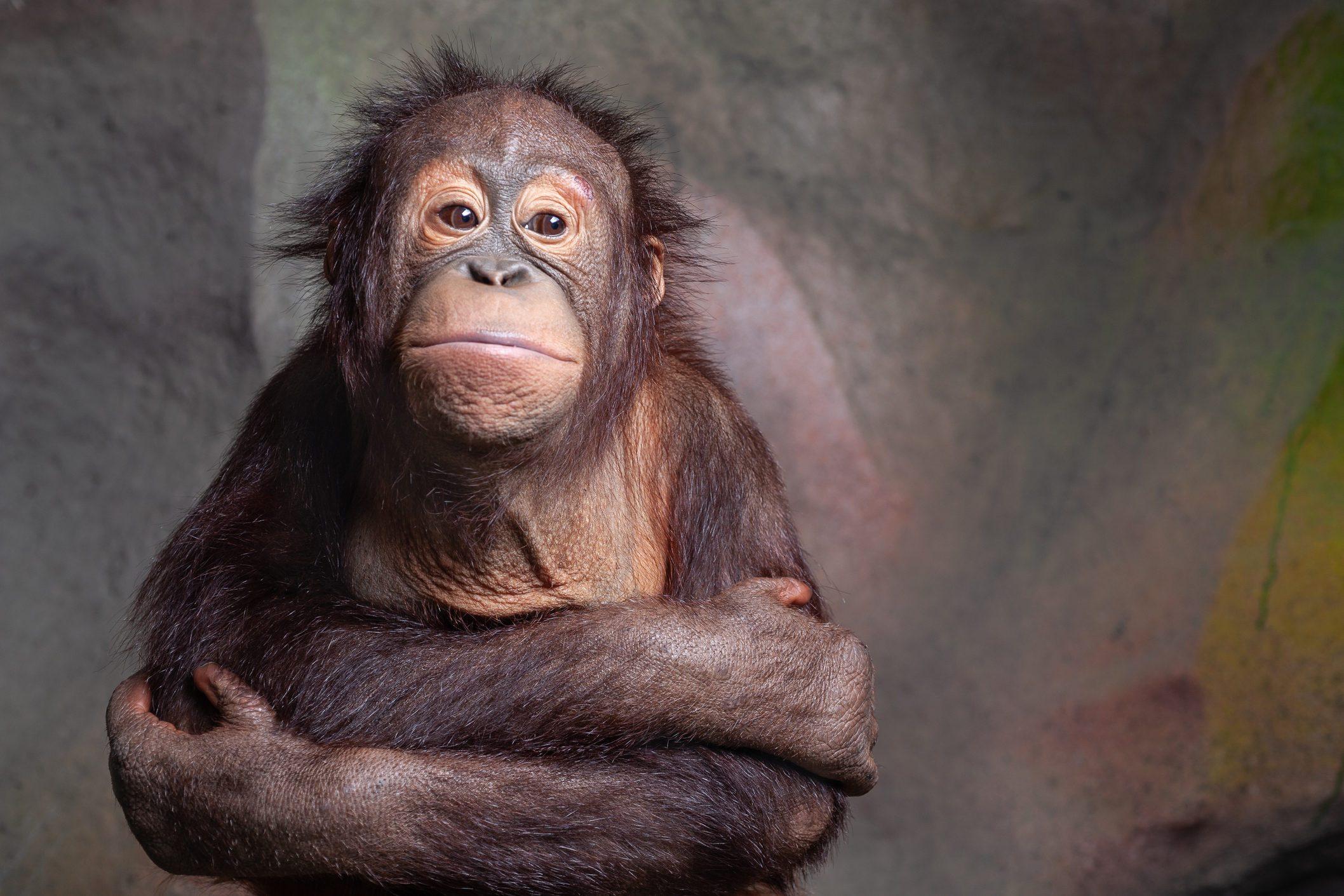 urangutan is endangered in Indonisia