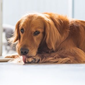 The Golden Retriever Dog is lying on the ground licking his paws.