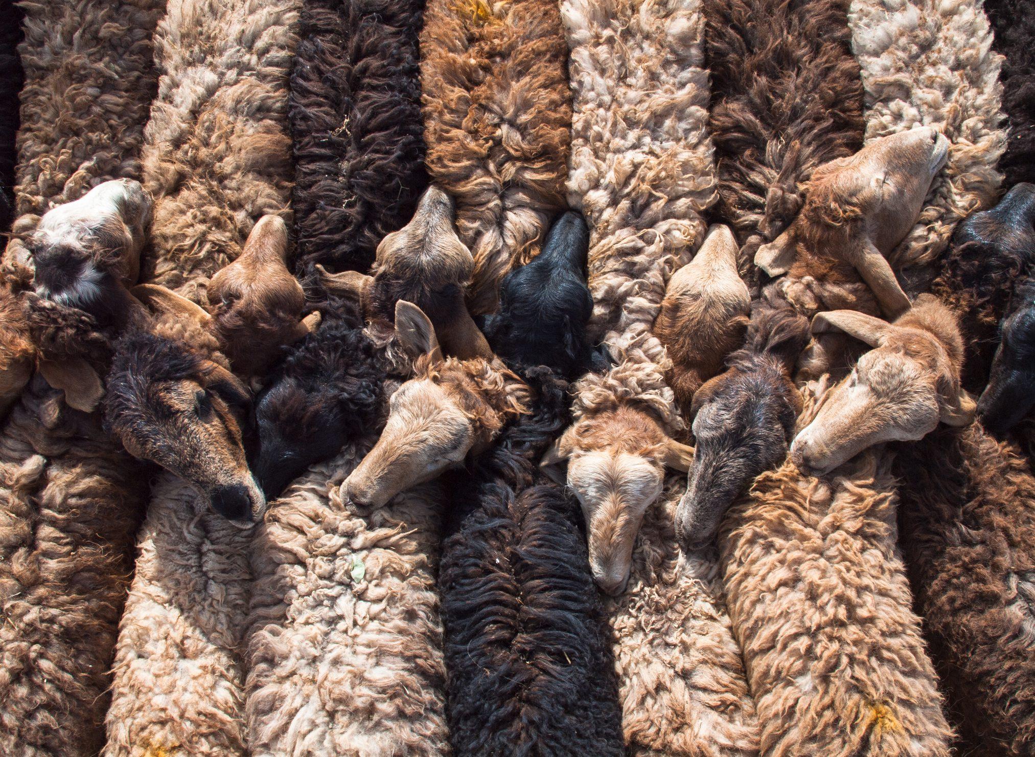 Row of bound together sheep at Mal Bazaar (livestock market) in Kashgar, Xinjiang, China