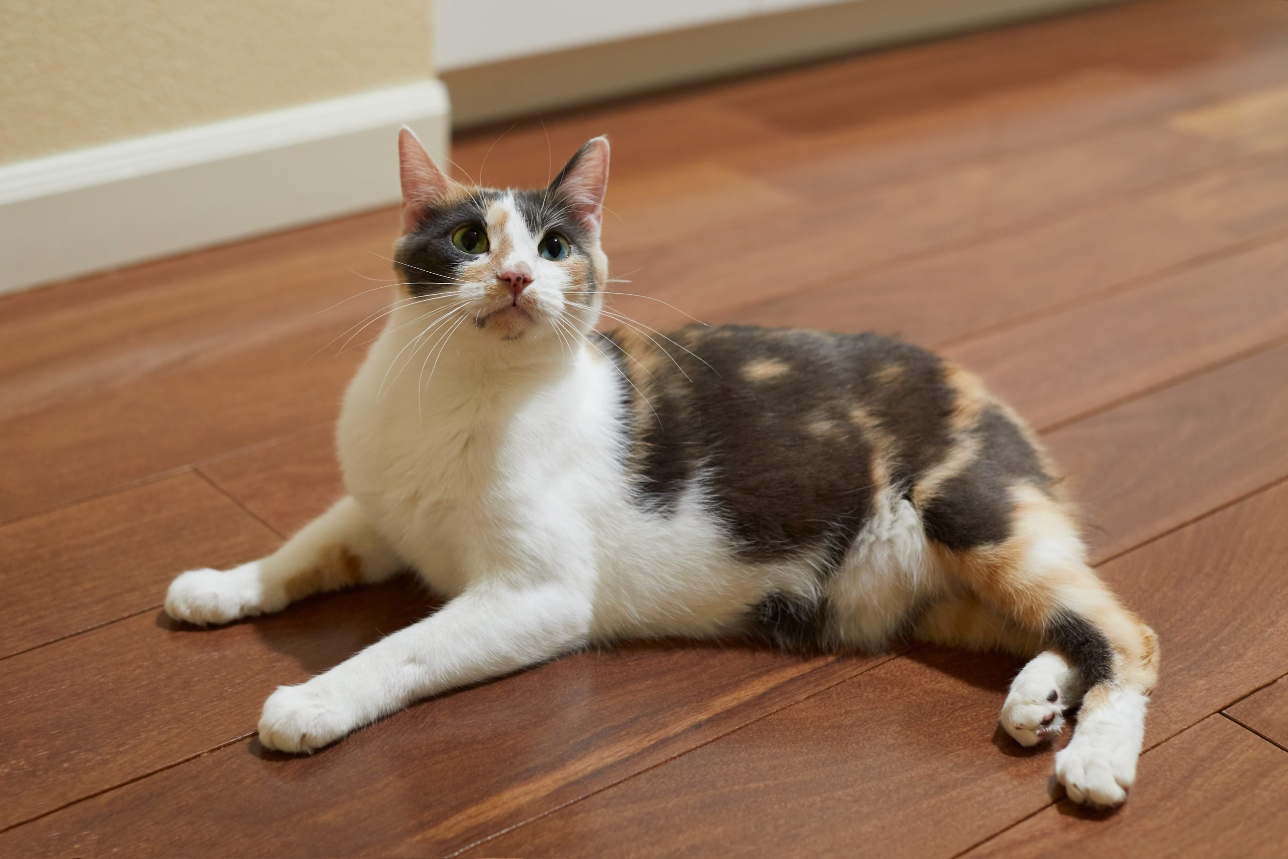 A playful manx calico cat