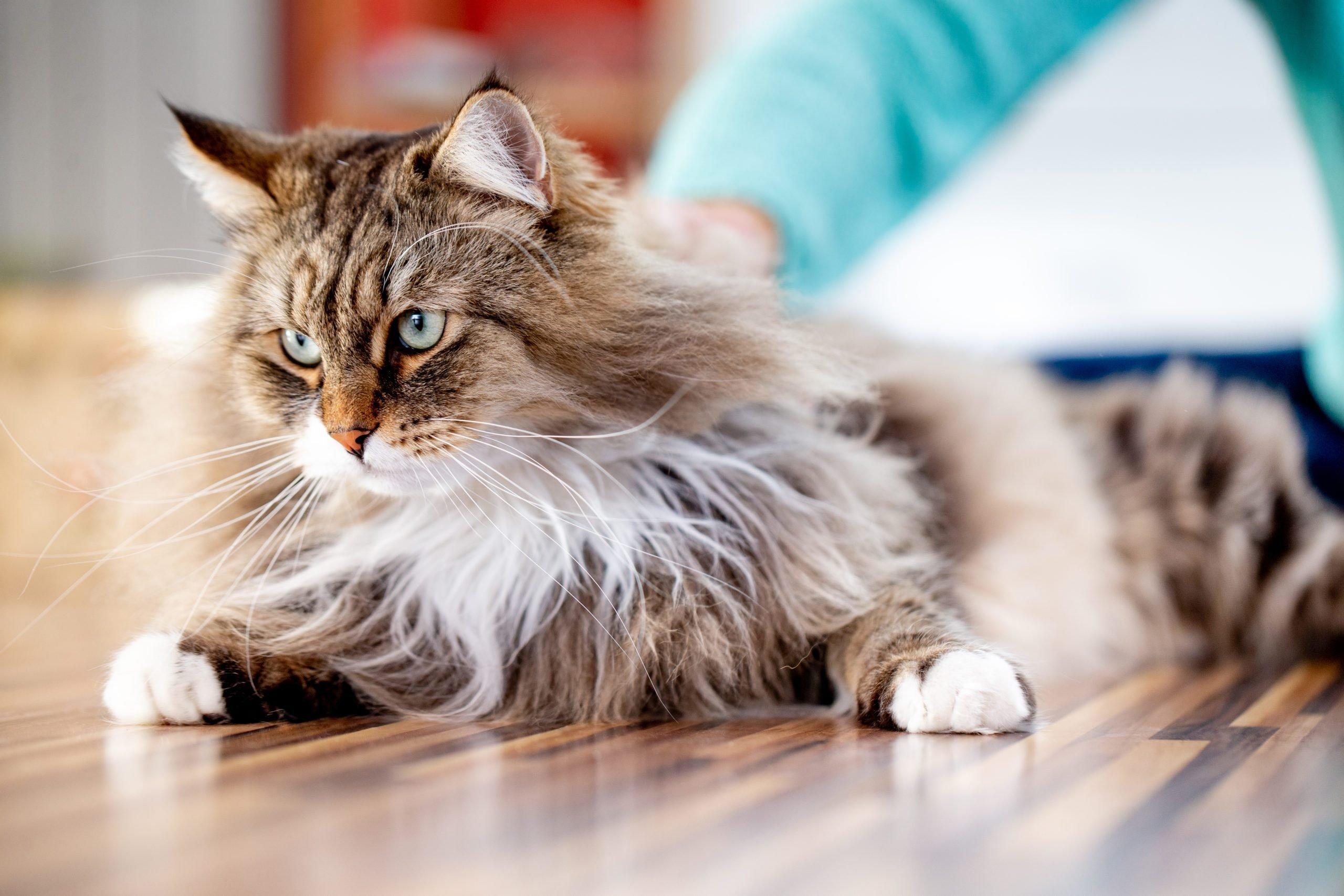 Siberian Cat Relaxing on the Floor Indoors