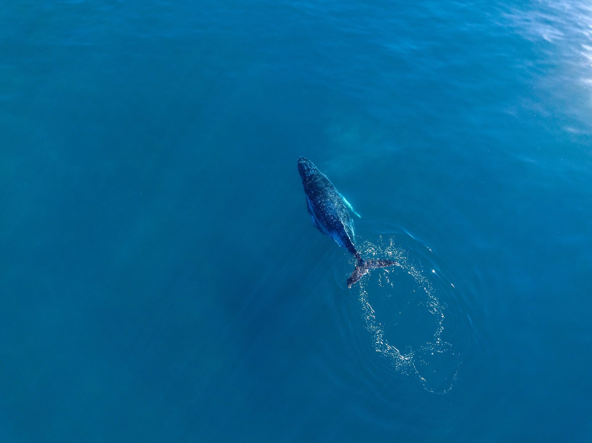 Humpback whales swimming in Blue water in the early morning sunlight