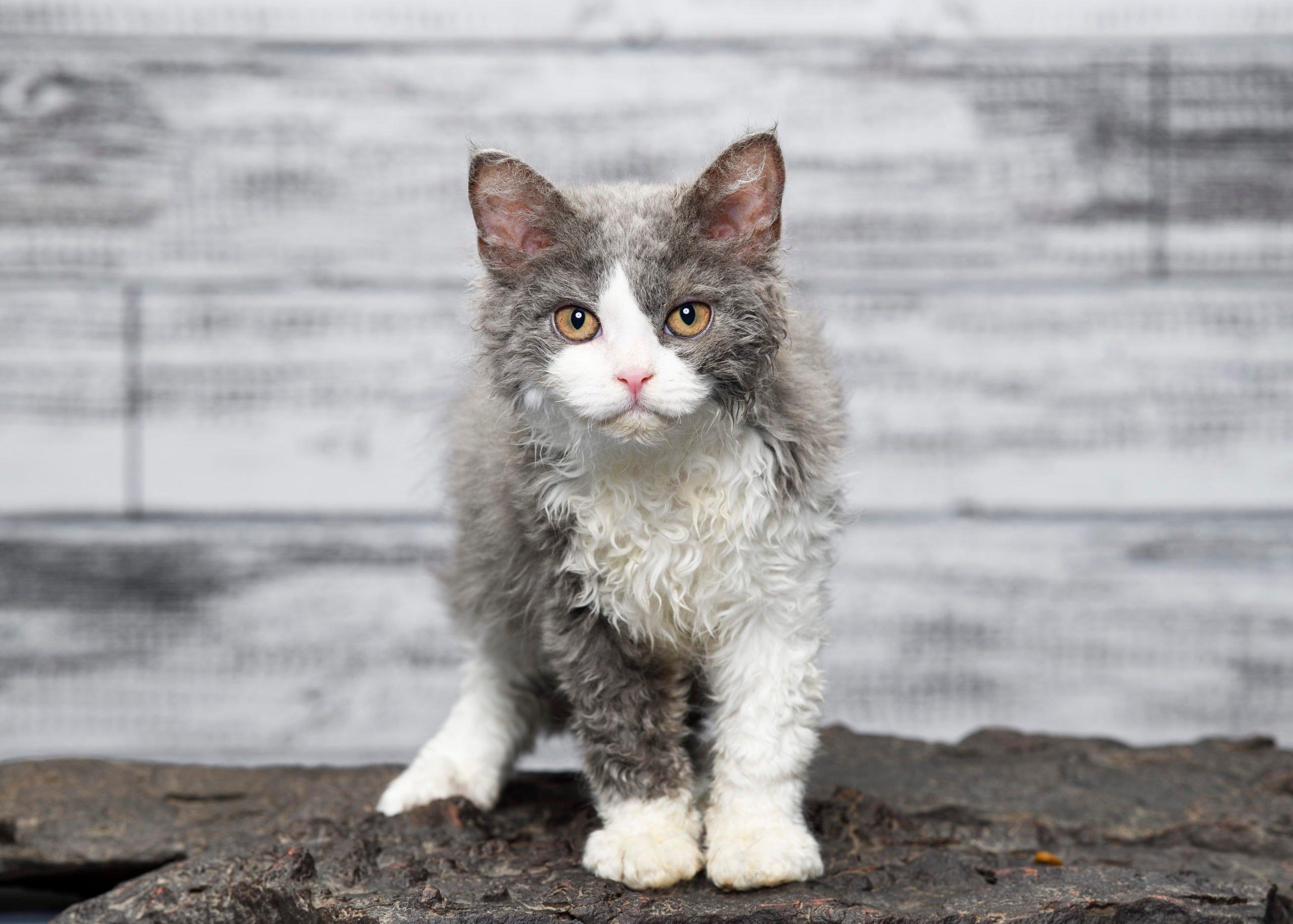 Curious Selkirk Rex Cat
