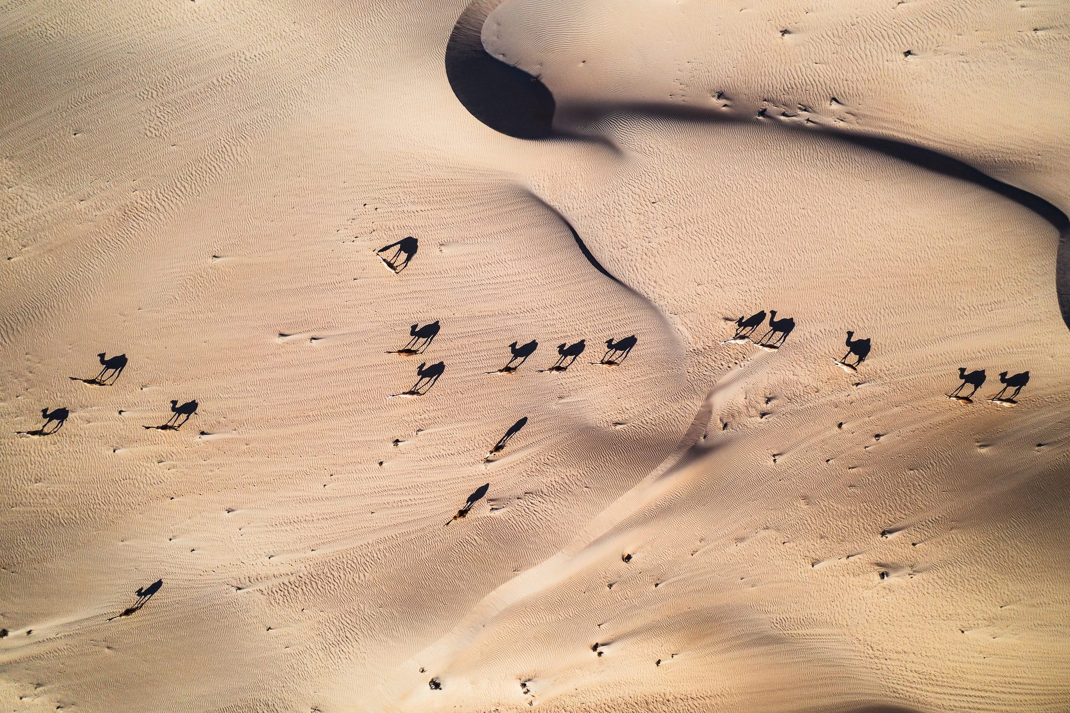 Aerial shot of a group of camels crossing the Arabian desert, United Arab Emirates
