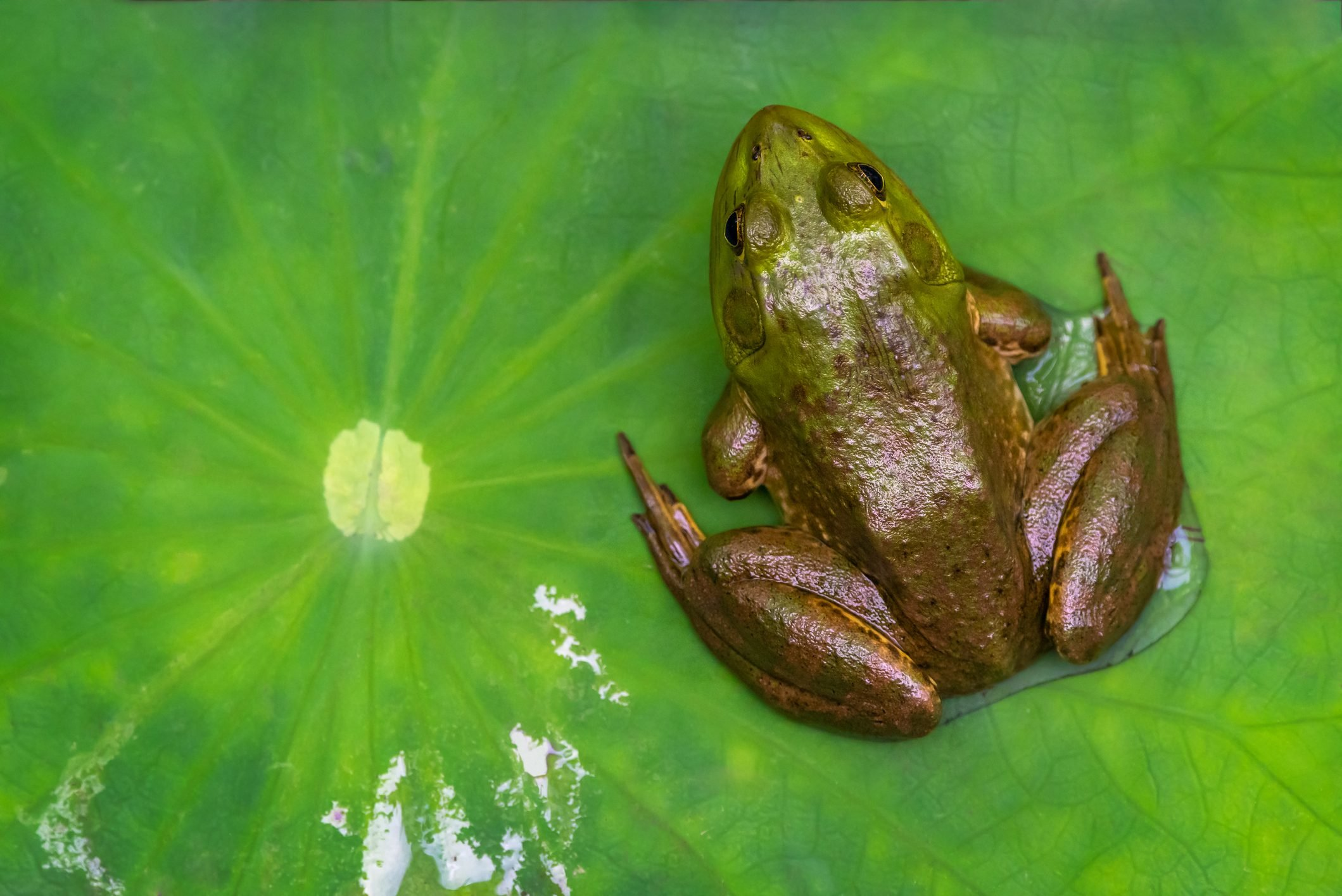 Common frog sitting on a water lily