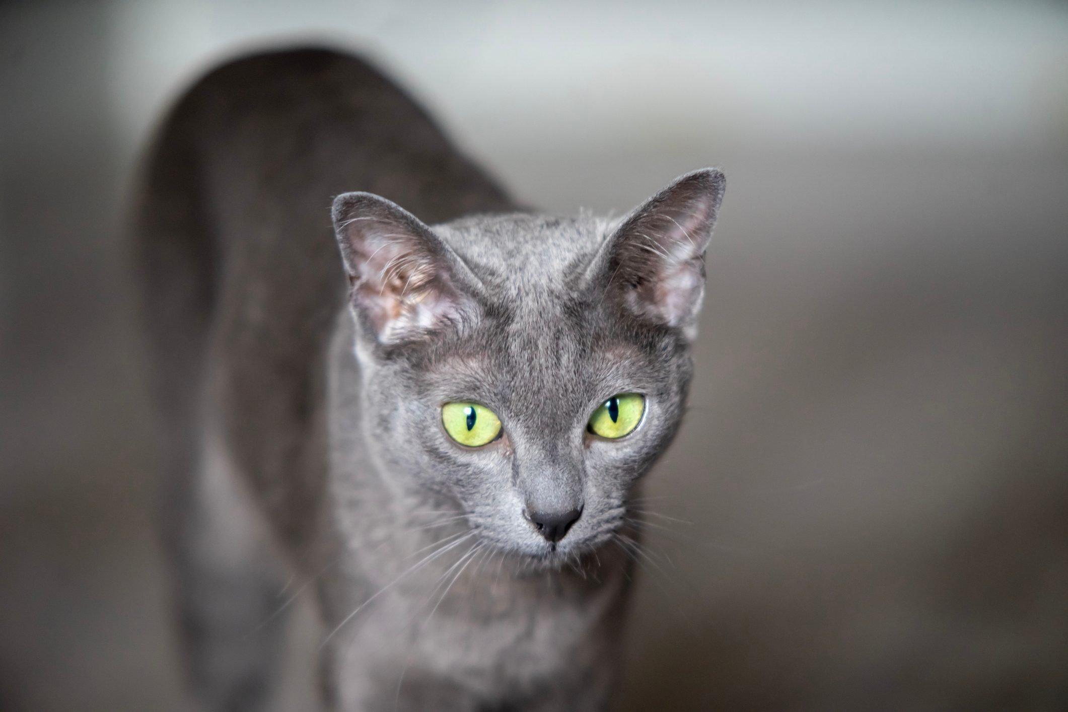 Korat cat portrait