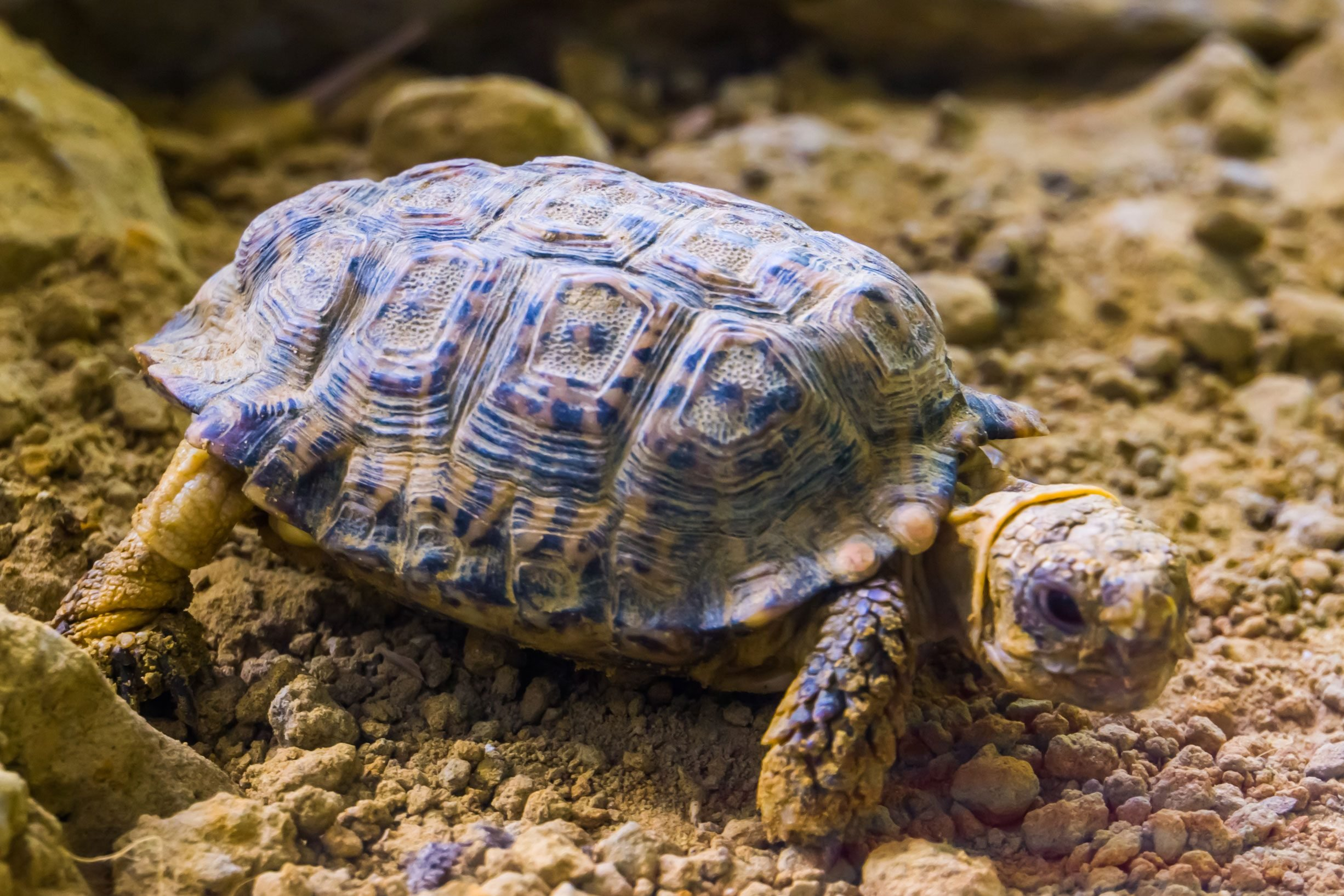speckled tortoise in closeup, small turtle specie from africa, Endangered animal specie