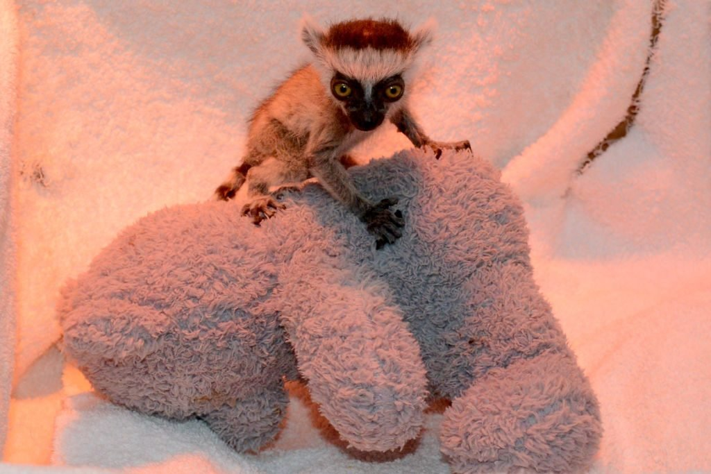 Baby ring-tailed lemur raised in private zoo in Krasnodar, Russia