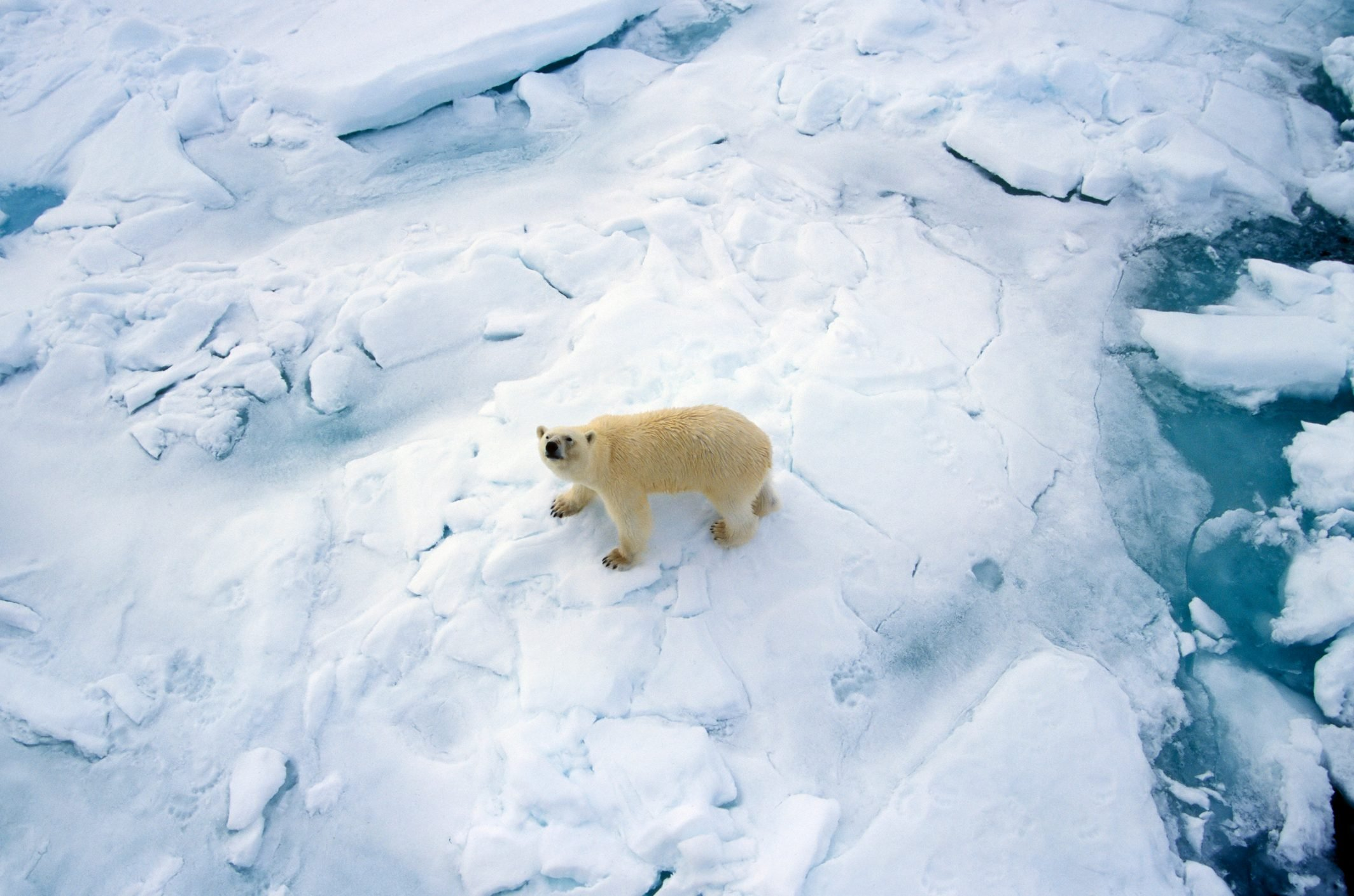 Polar Bear (Ursus maritimus) on Sea ice, Svalbard, Arctic Ocean