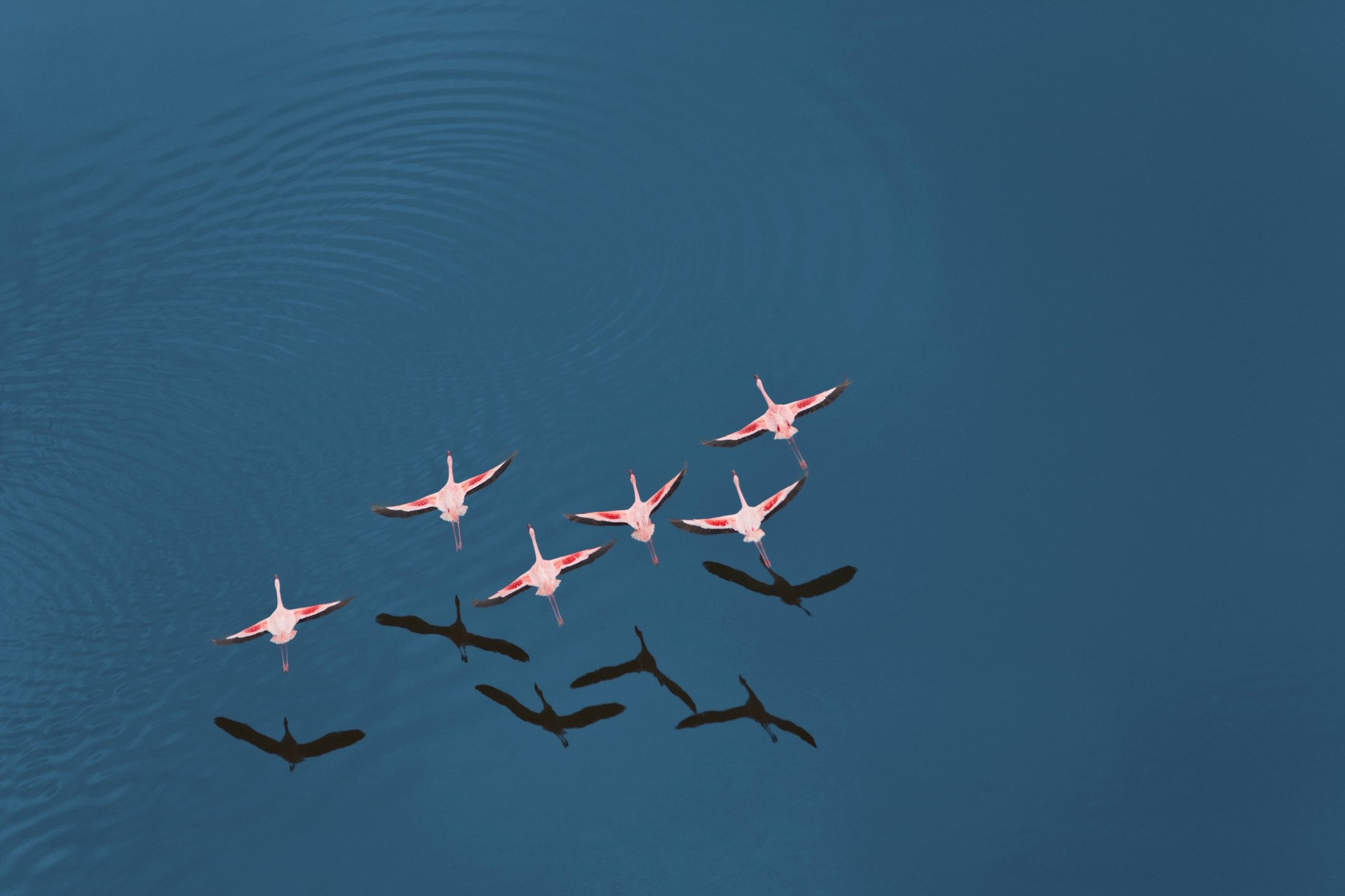 Aerial view of Lesser Flamingo (Phoenicopterus minor) flying over Lake Magadi, Rift Valley, Kenya, Africa