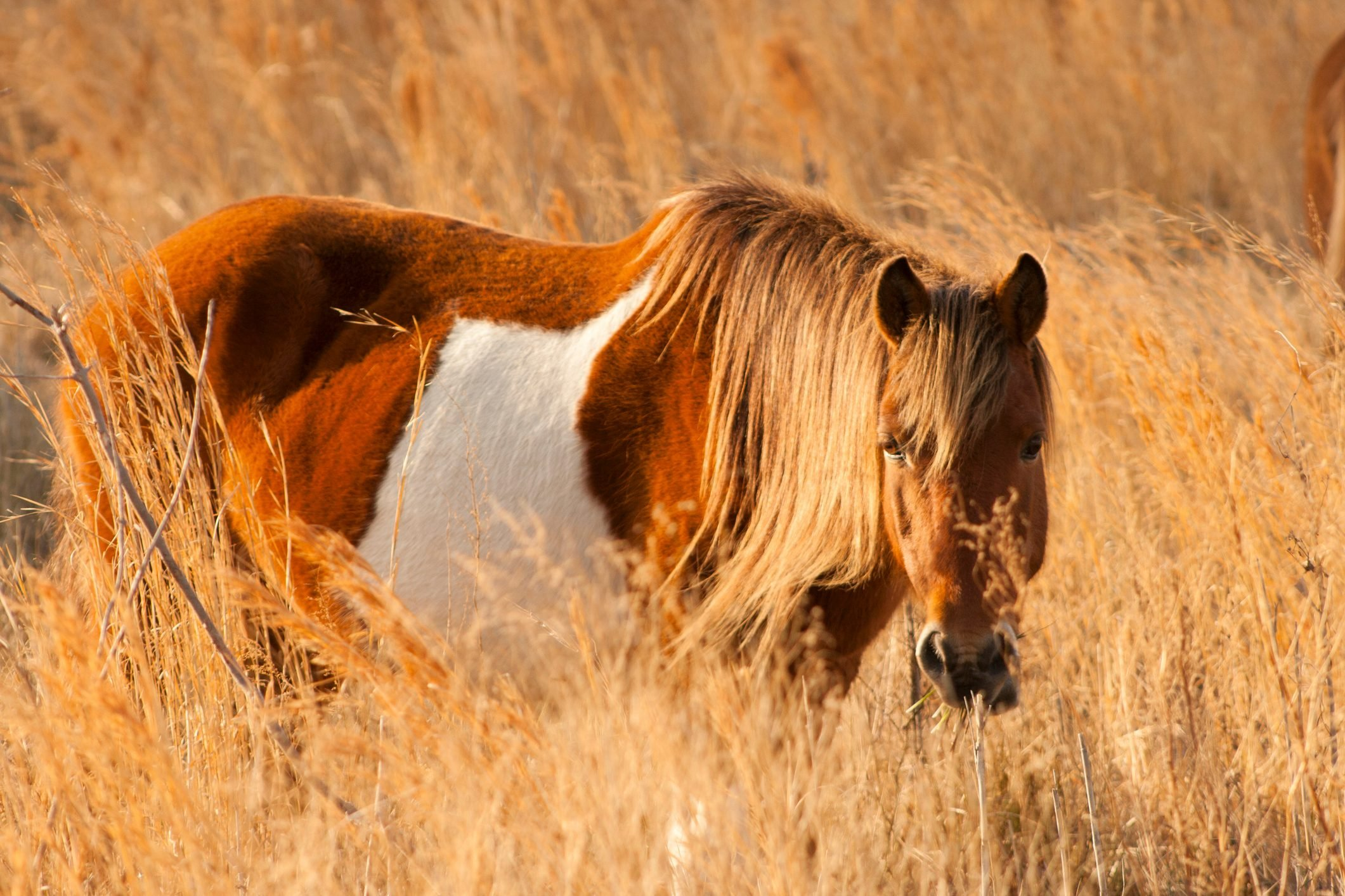Wild pony in cordgrass at Assateague in Maryland.