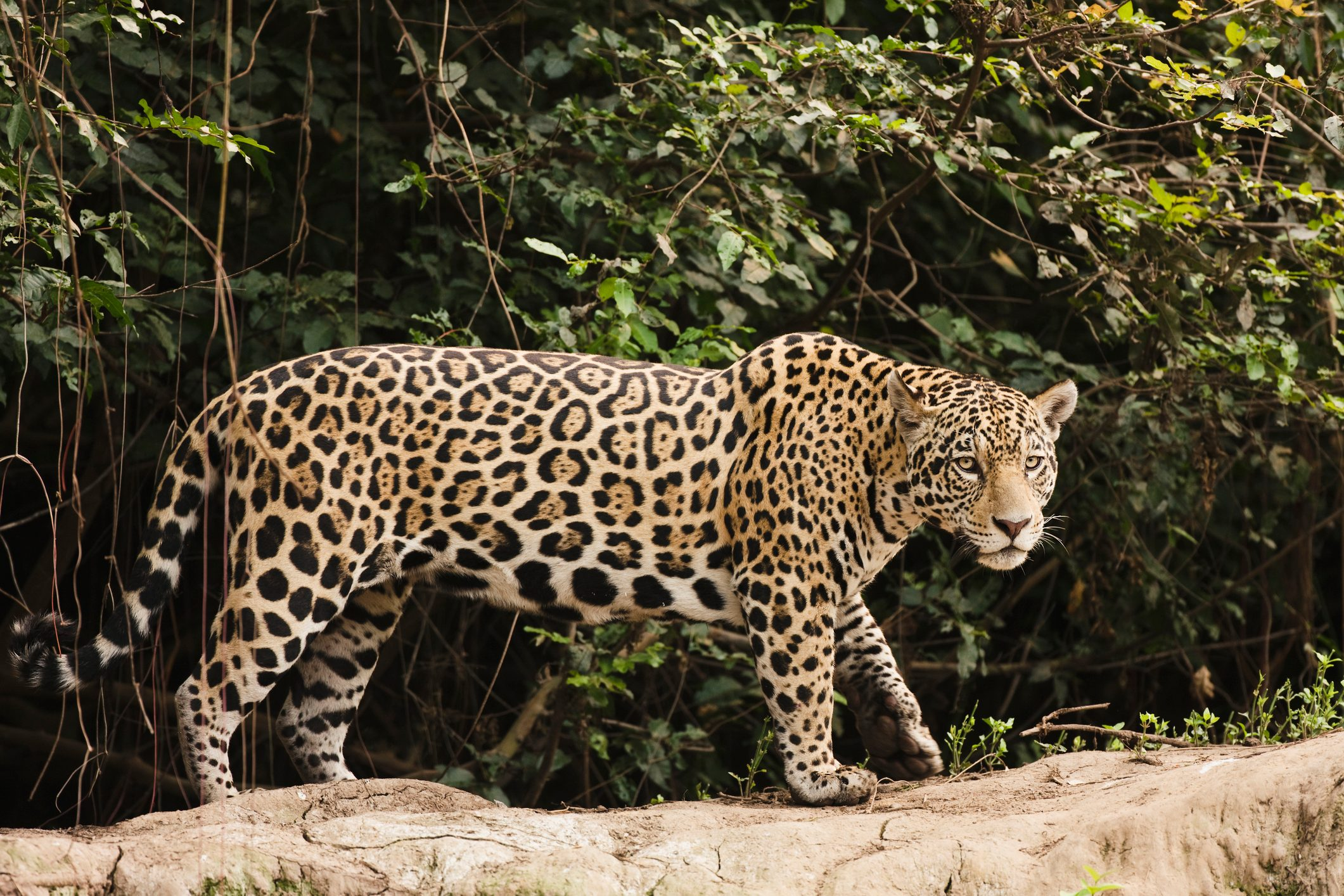 A female jaguar hunting in the early morning.