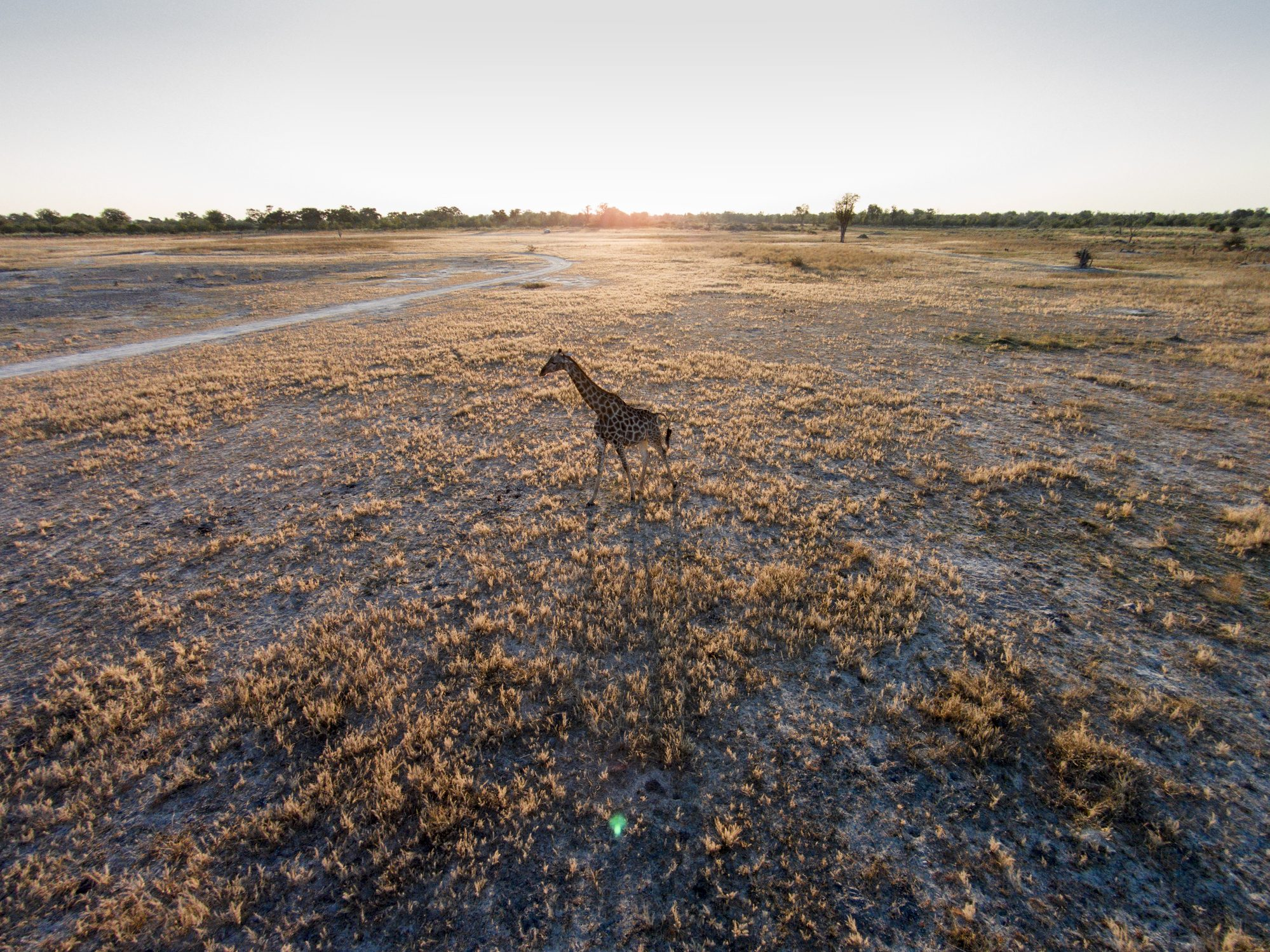 Aerial View of Giraffe, Botswana