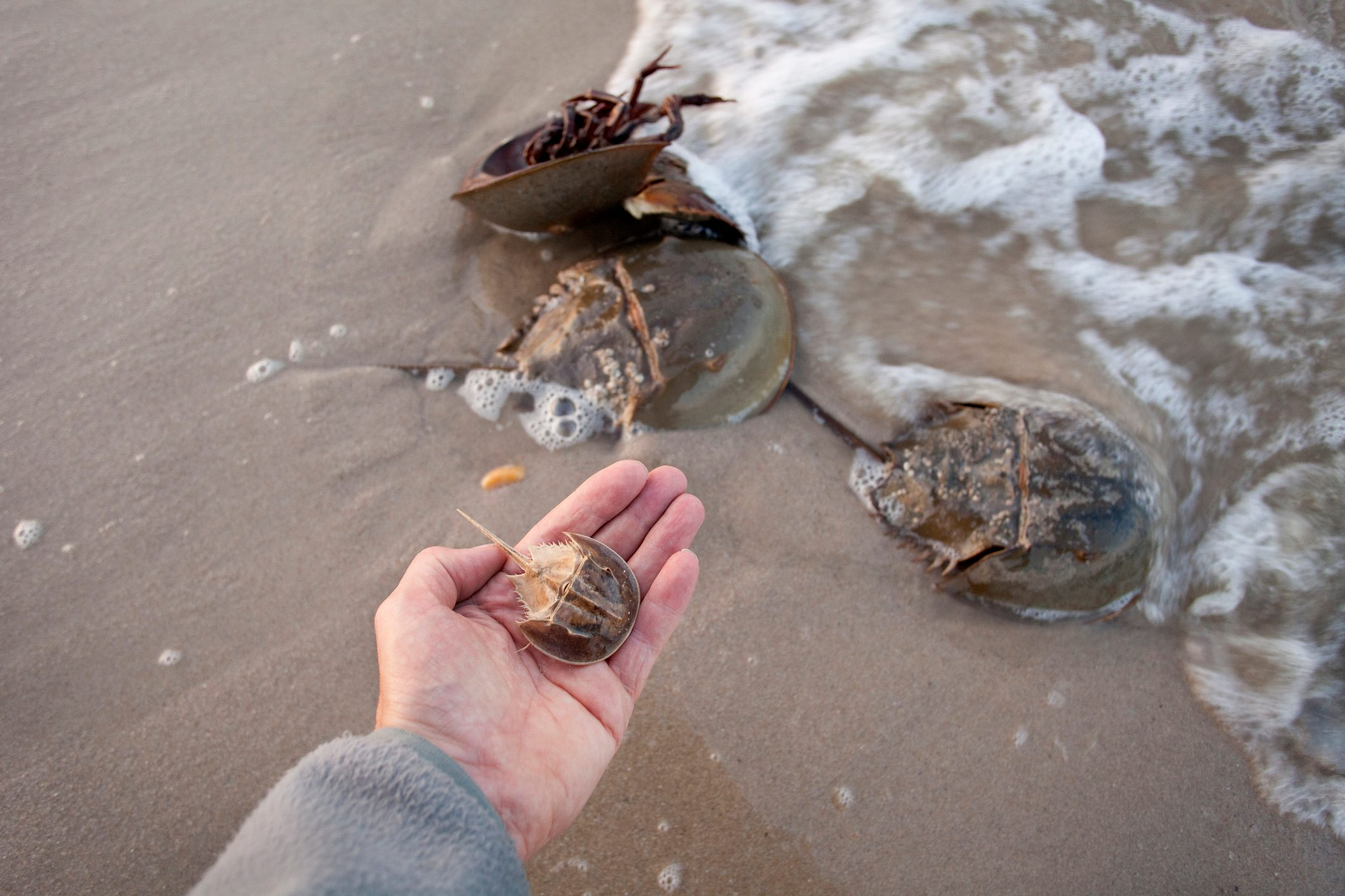 Horseshoe crabs spawn high tide hand holds molted shell Delaware