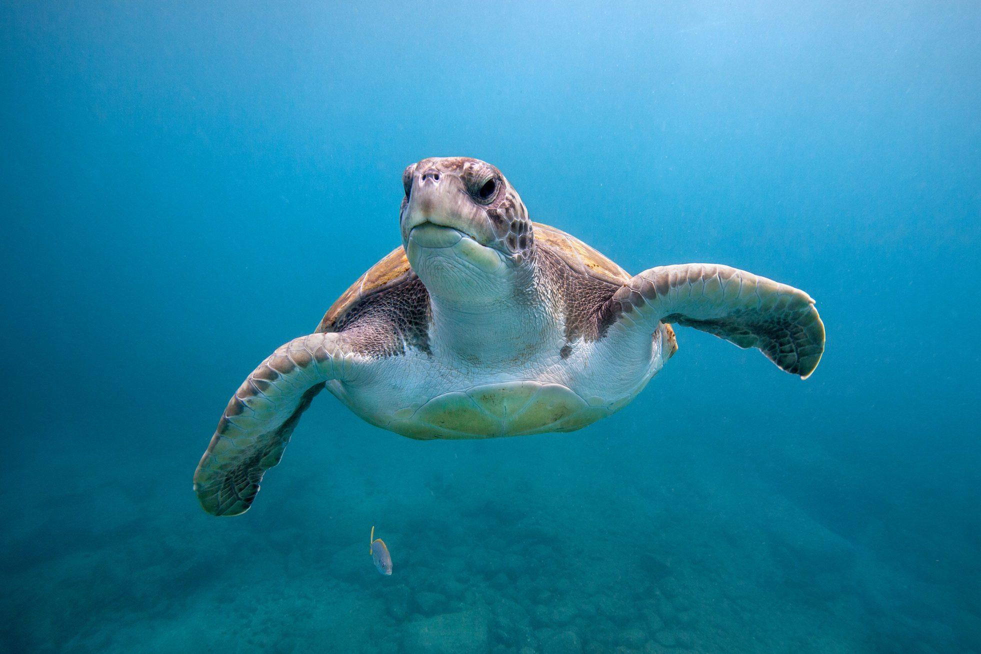 Green sea turtle off Canary Islands
