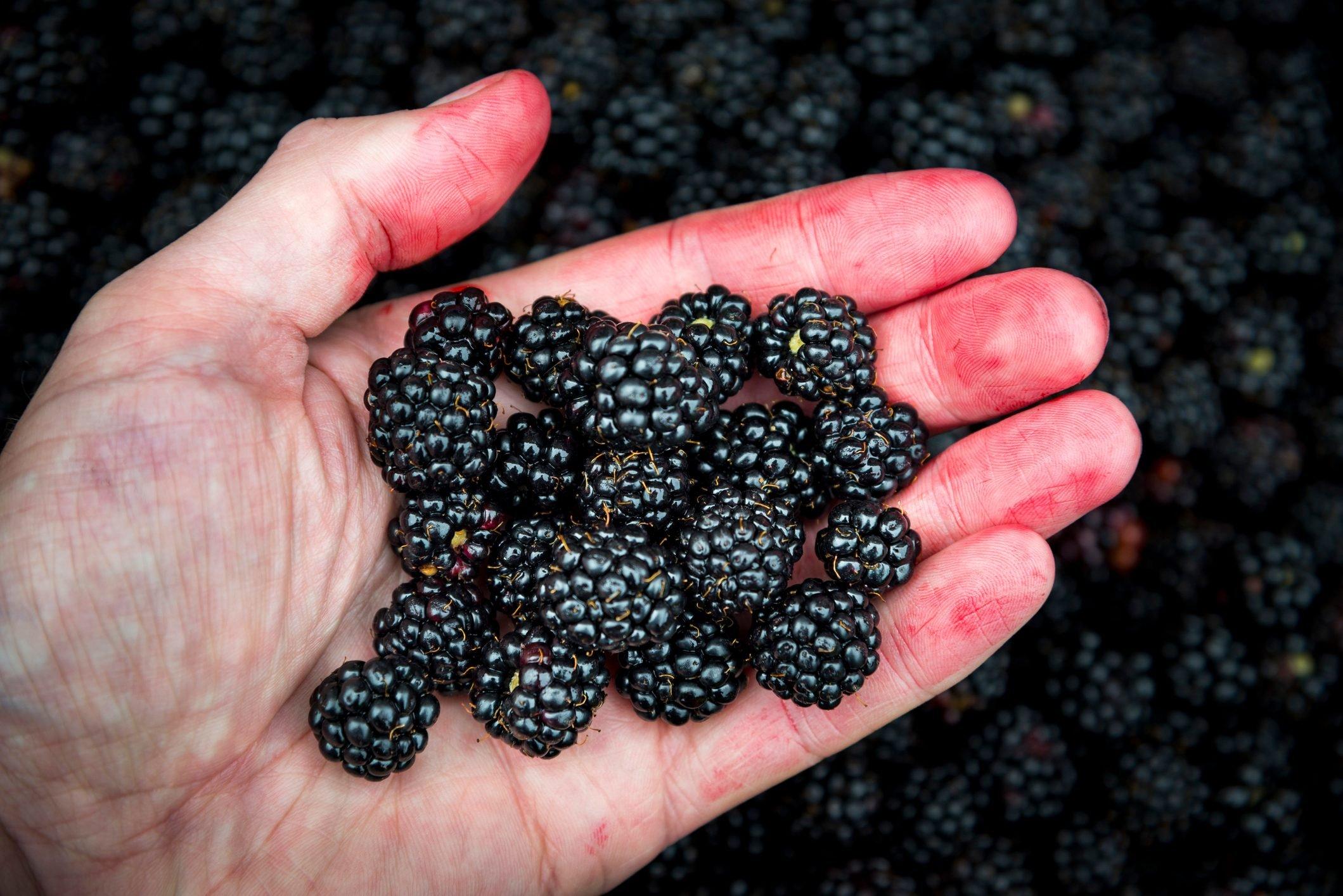 Juice stained hand holding freshly picked wild blackberries