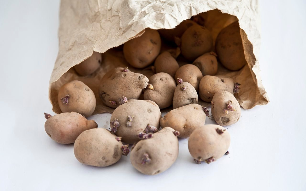 Close-up of seed potatoes spilling out of a paper bag onto a white background