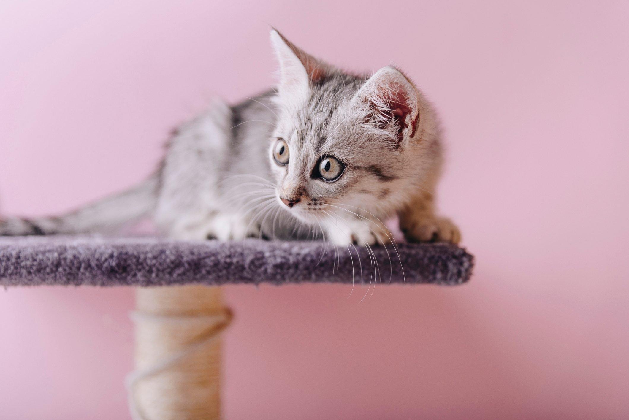 Playful Egyptian Mau kitten