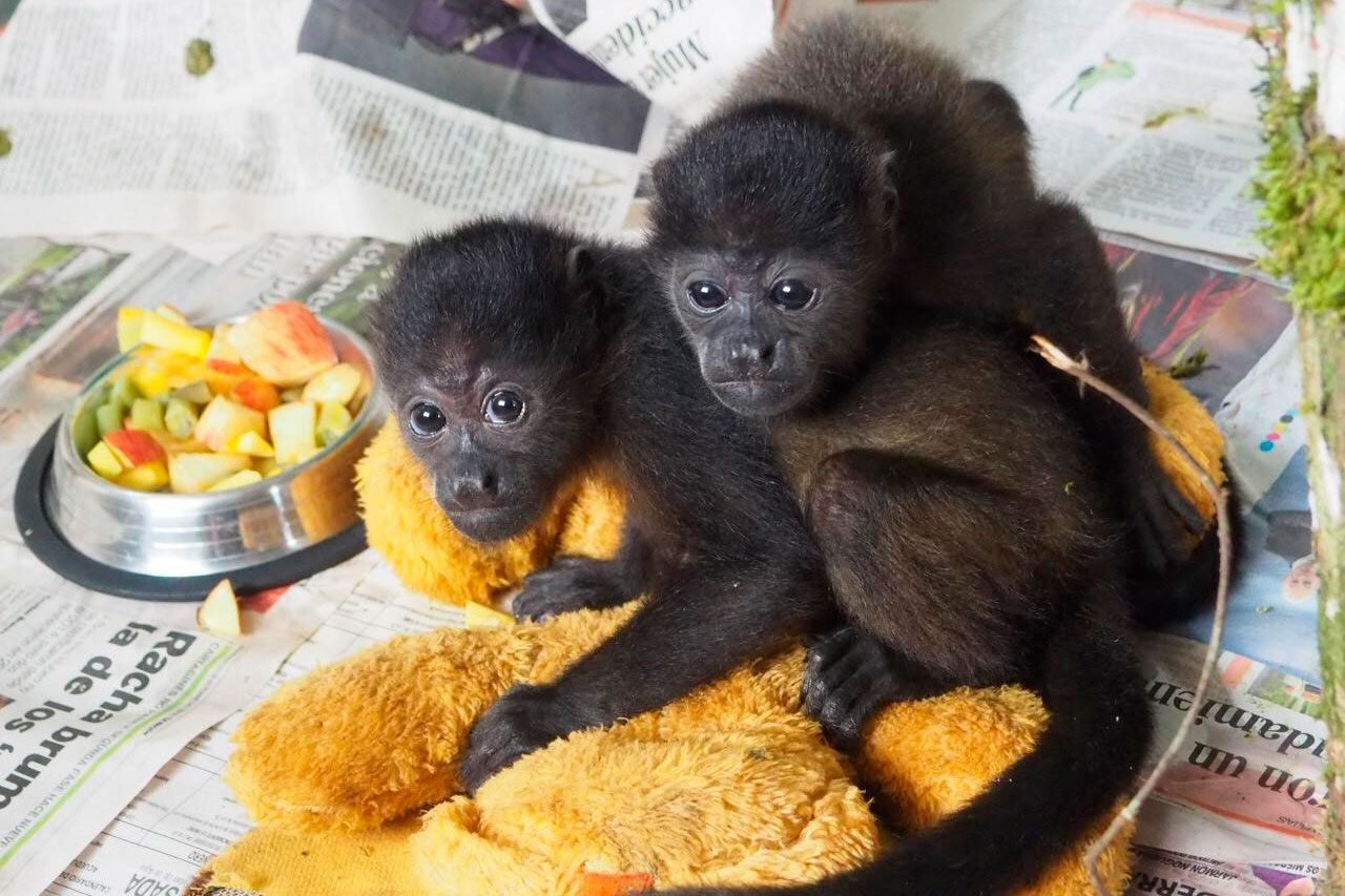 baby howler monkeys