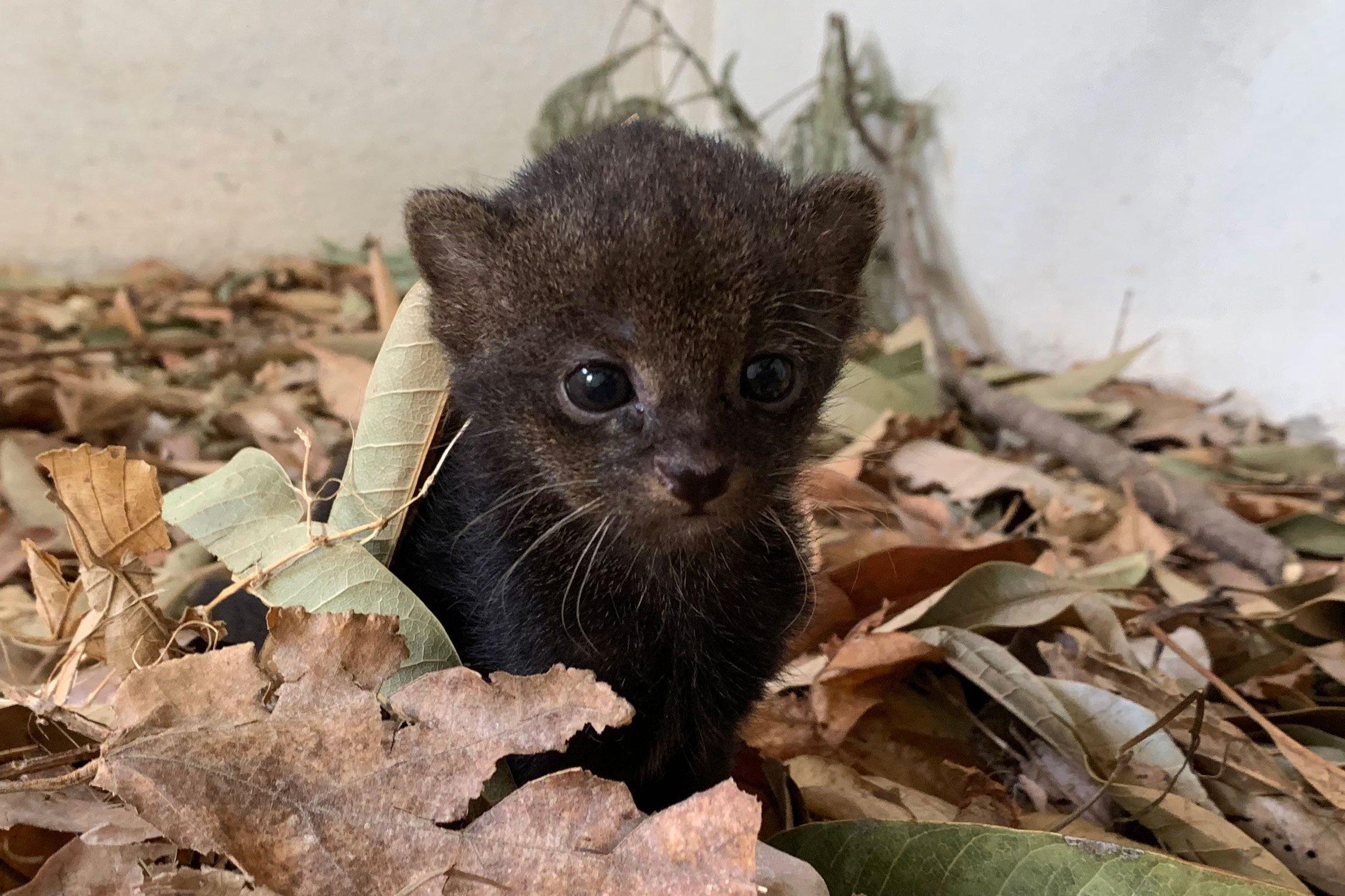 baby jaguarundi