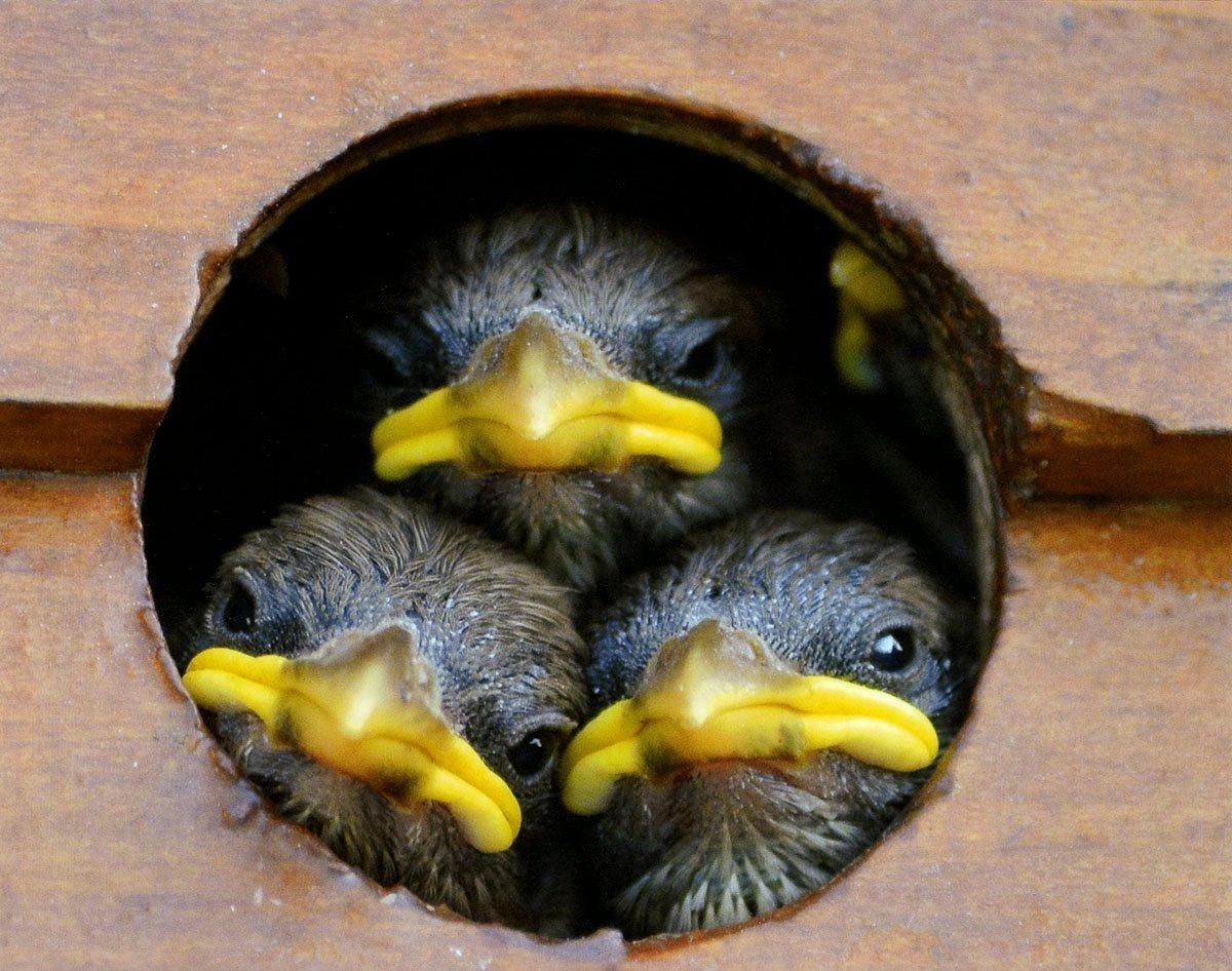 Three baby birds in birdhouse