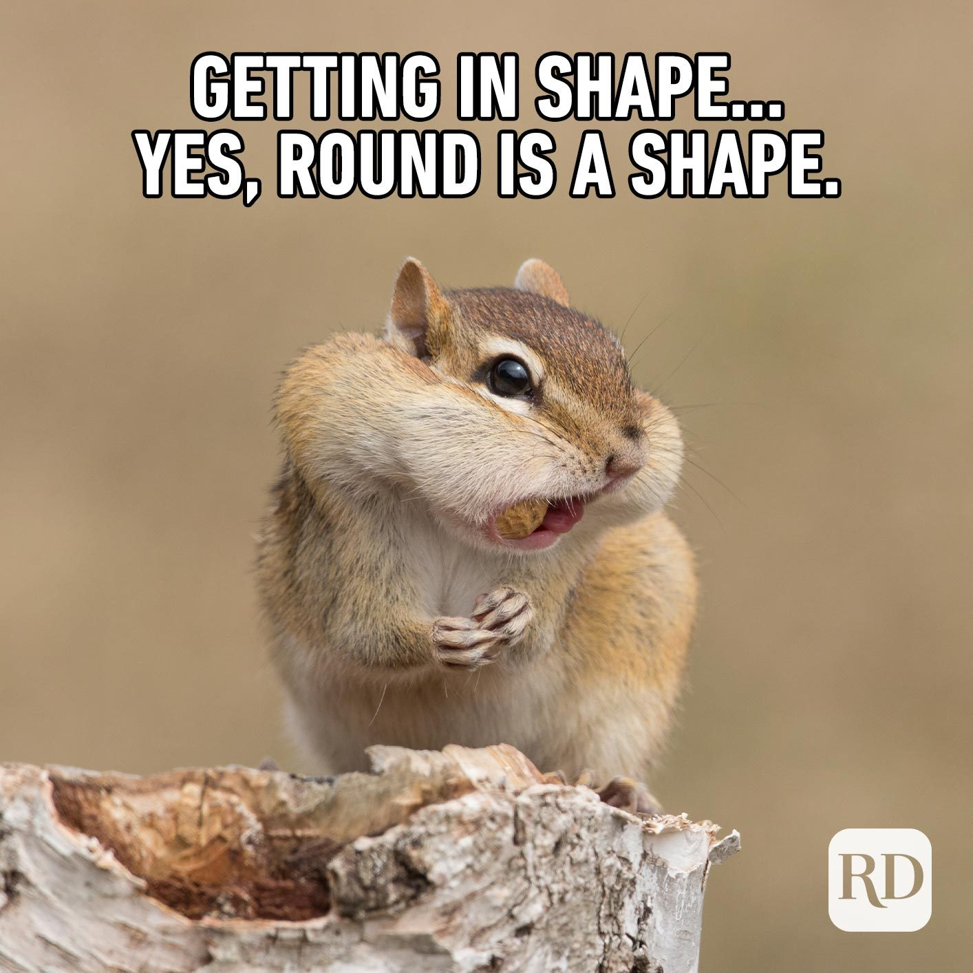 Chipmunk eating nuts. Meme text: Getting in shape… yes, round is a shape