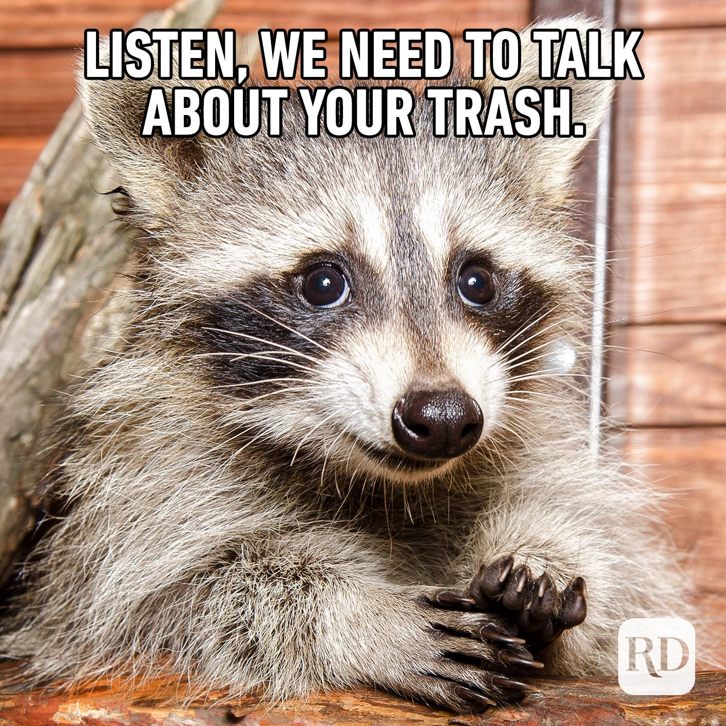 Racoon. Meme text: Listen, we need to talk about your trash.