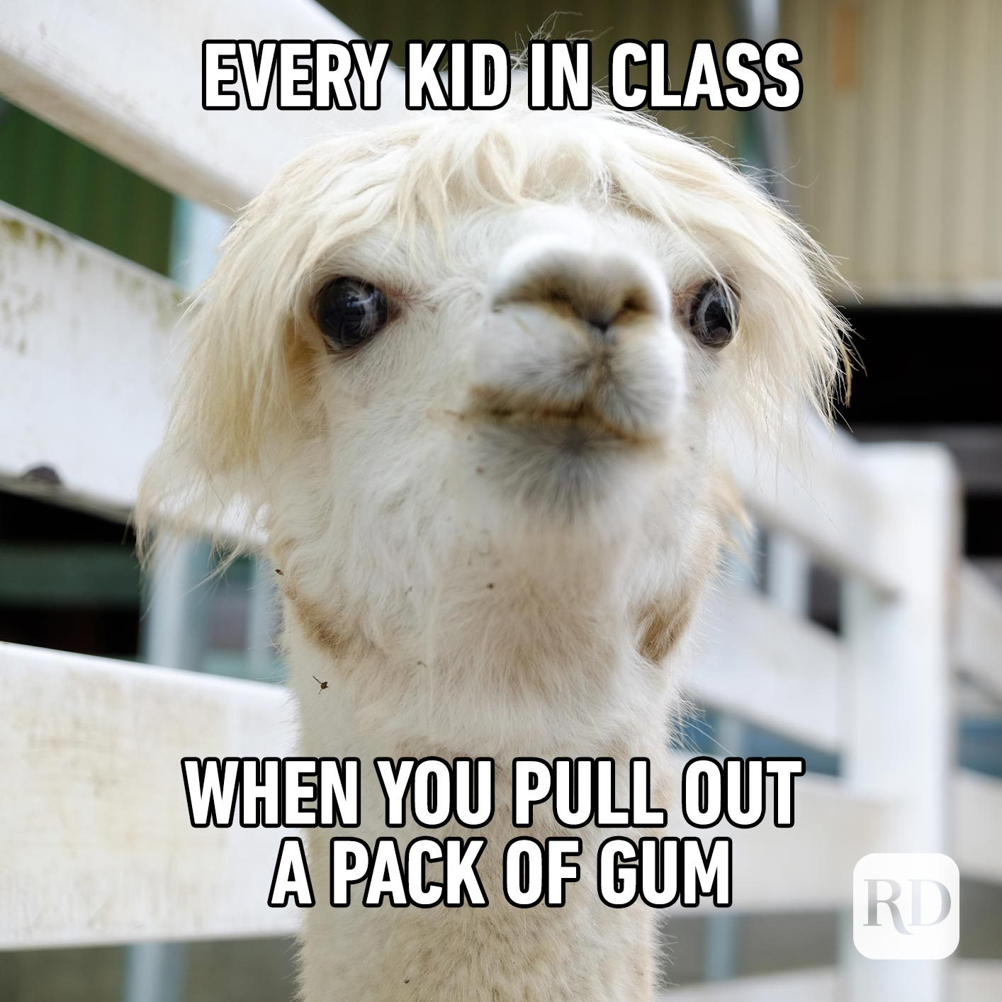 Alpaca peeking its head up. Meme text: Every kid in class when you pull out a pack of gum
