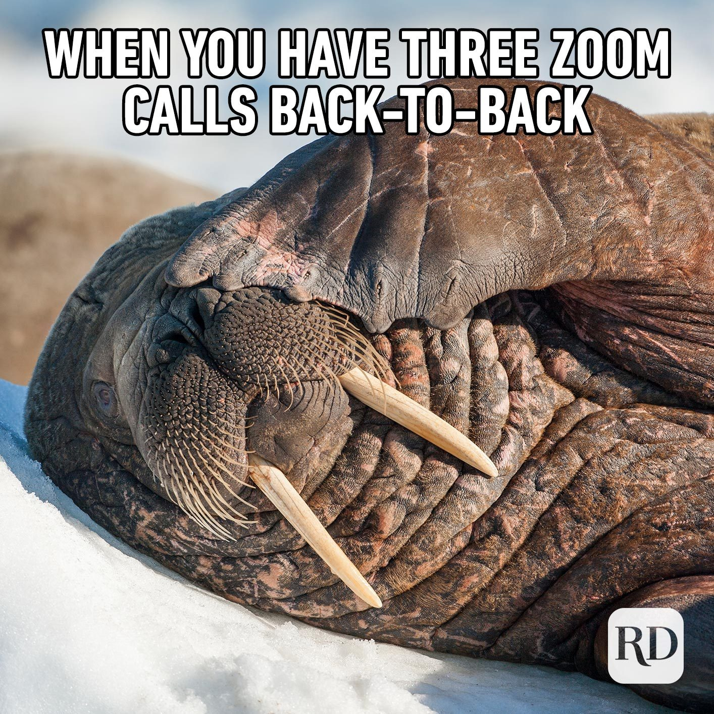 Walrus covering eyes. Meme text: When you have three Zoom calls back-to-back
