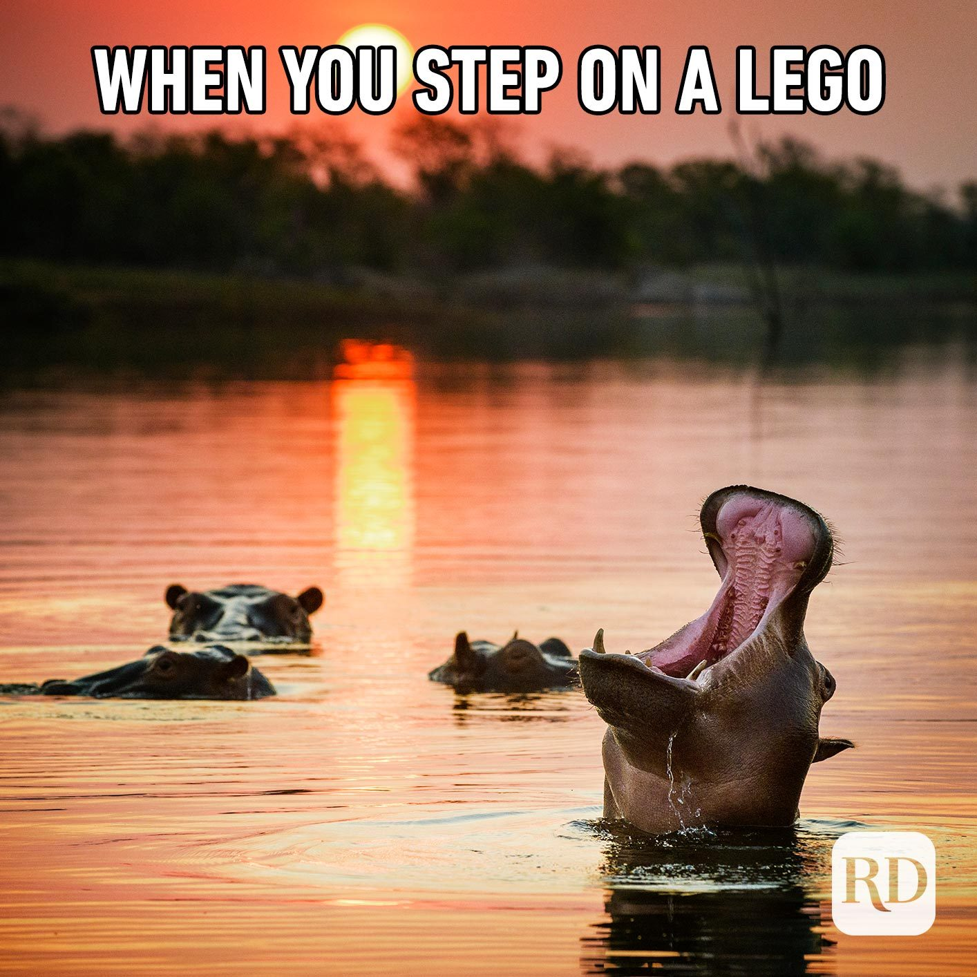Hippo rising out of water to scream. Meme text: When you step on a Lego