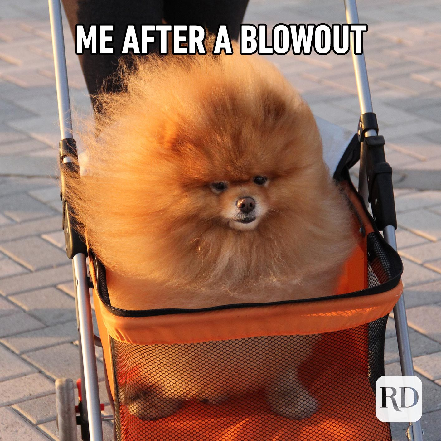 Dog with fluffy hair in stroller. Meme text: Me after a blowout