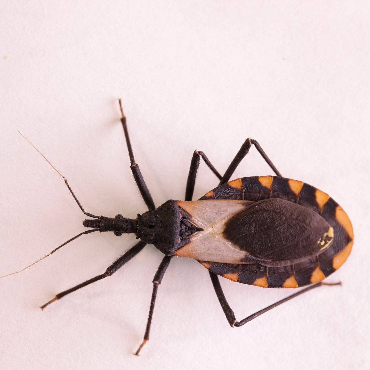 deadly kissing bug