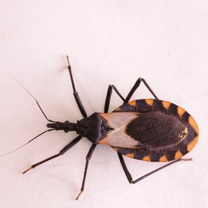 deadly kissing bug