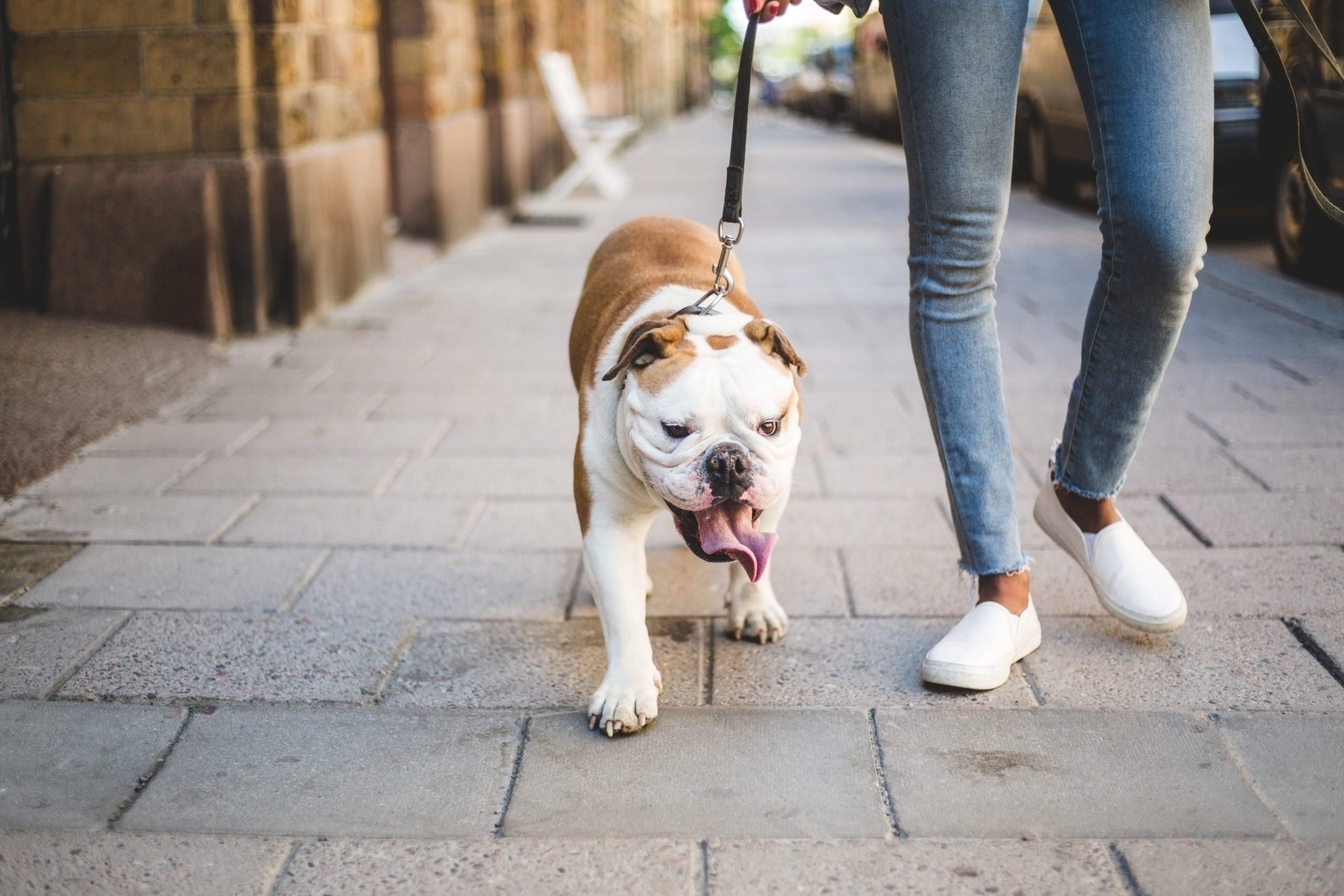 Low section of woman walking with English bulldog on sidewalk