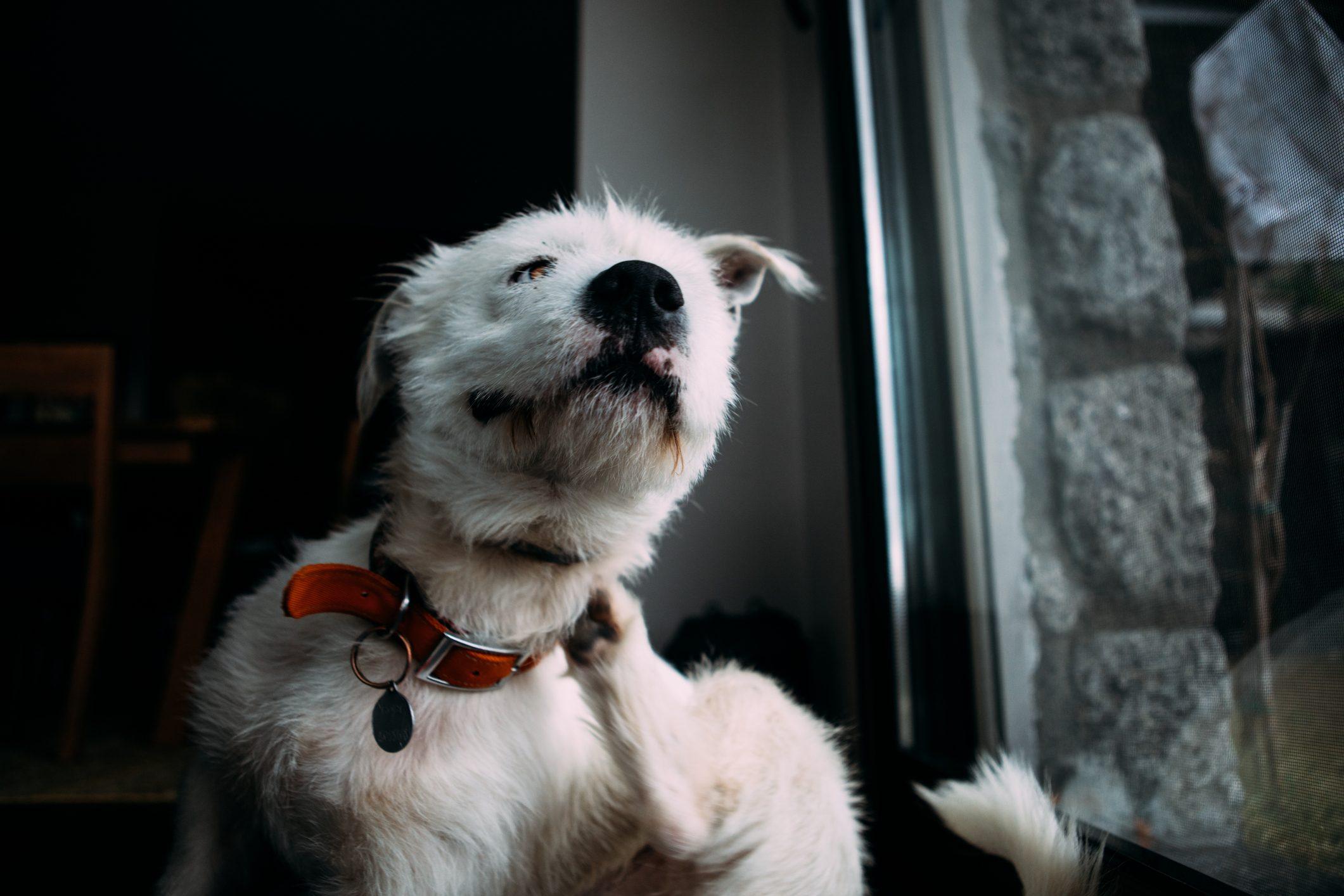 A dog scratching itself